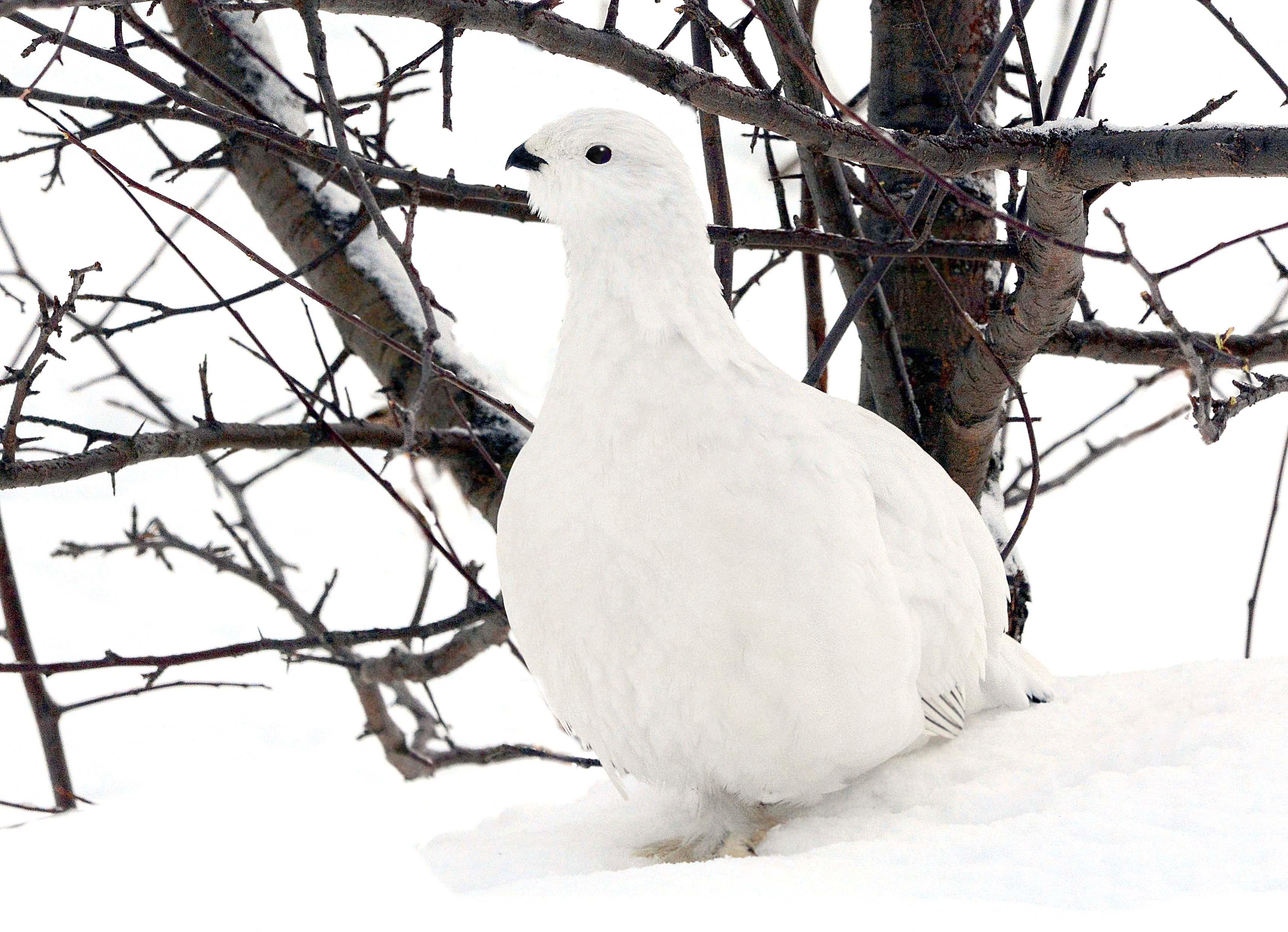 белая куропатка., Белоусов Михаил