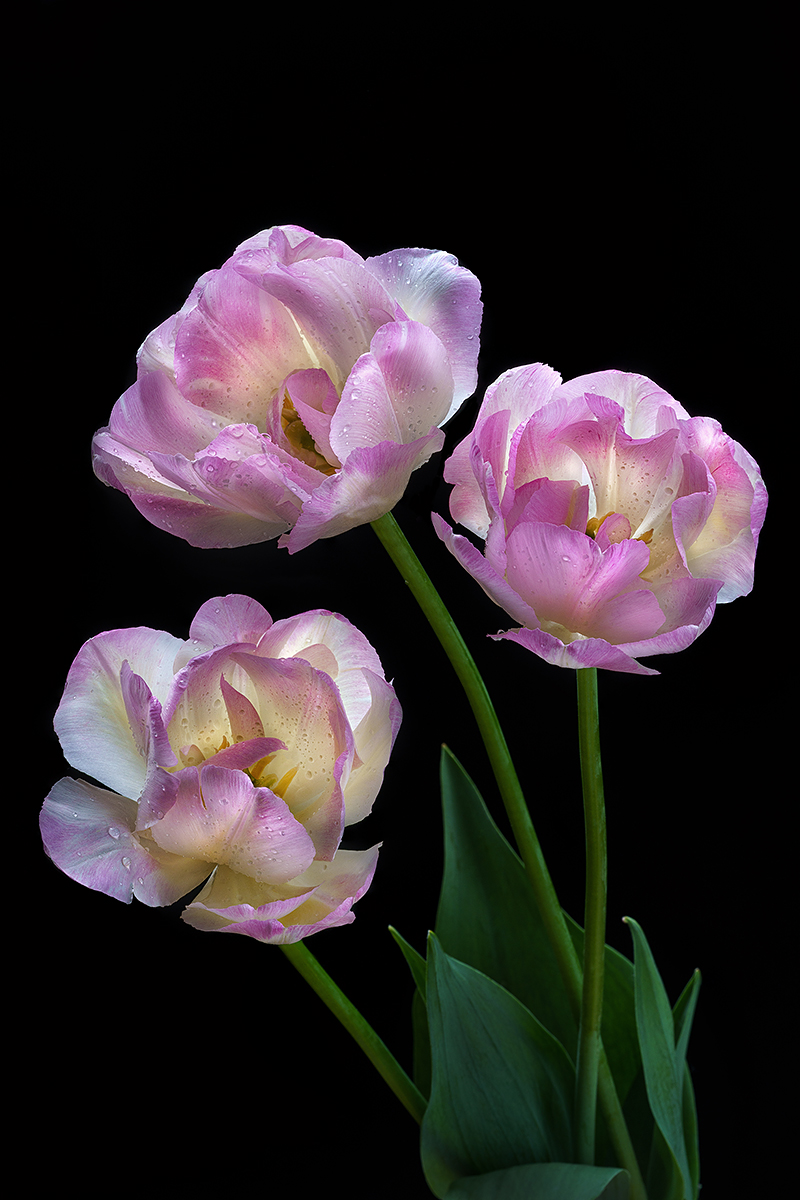 тюльпан, тюльпаны, цветы, цветок, розовый, флора, природа, лепестки, цвет, черный фон, минимализм, Ольга ЯR