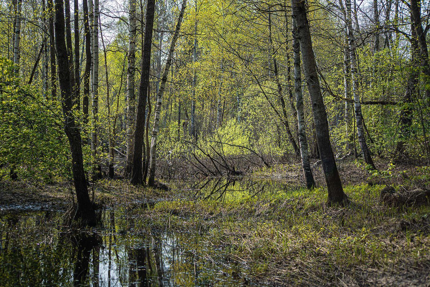 весна, молодая зелень, сочная зелень, березы, осины, мещёра, рязанская область, Валерий Пешков