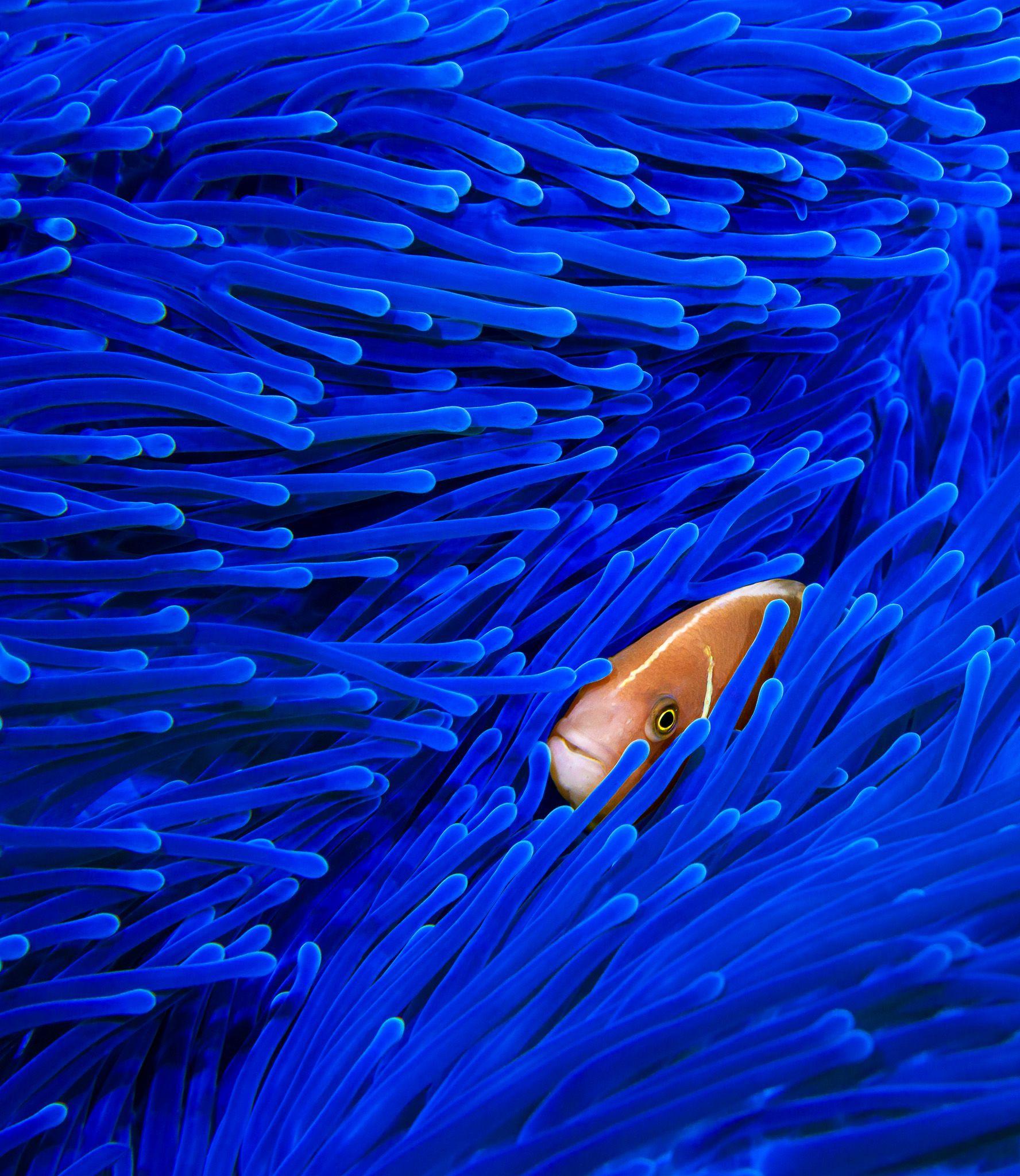 underwater, diving, scuba, ocean, sea, anemone, blue, pink, fish, tropical, macro, marine, Савин Андрей