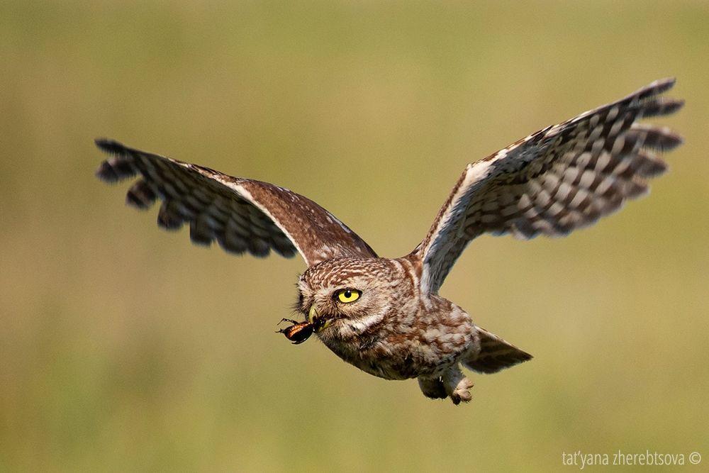 owl, my-mriya, mymriya, wildlife, little owl,, Татьяна Жеребцова