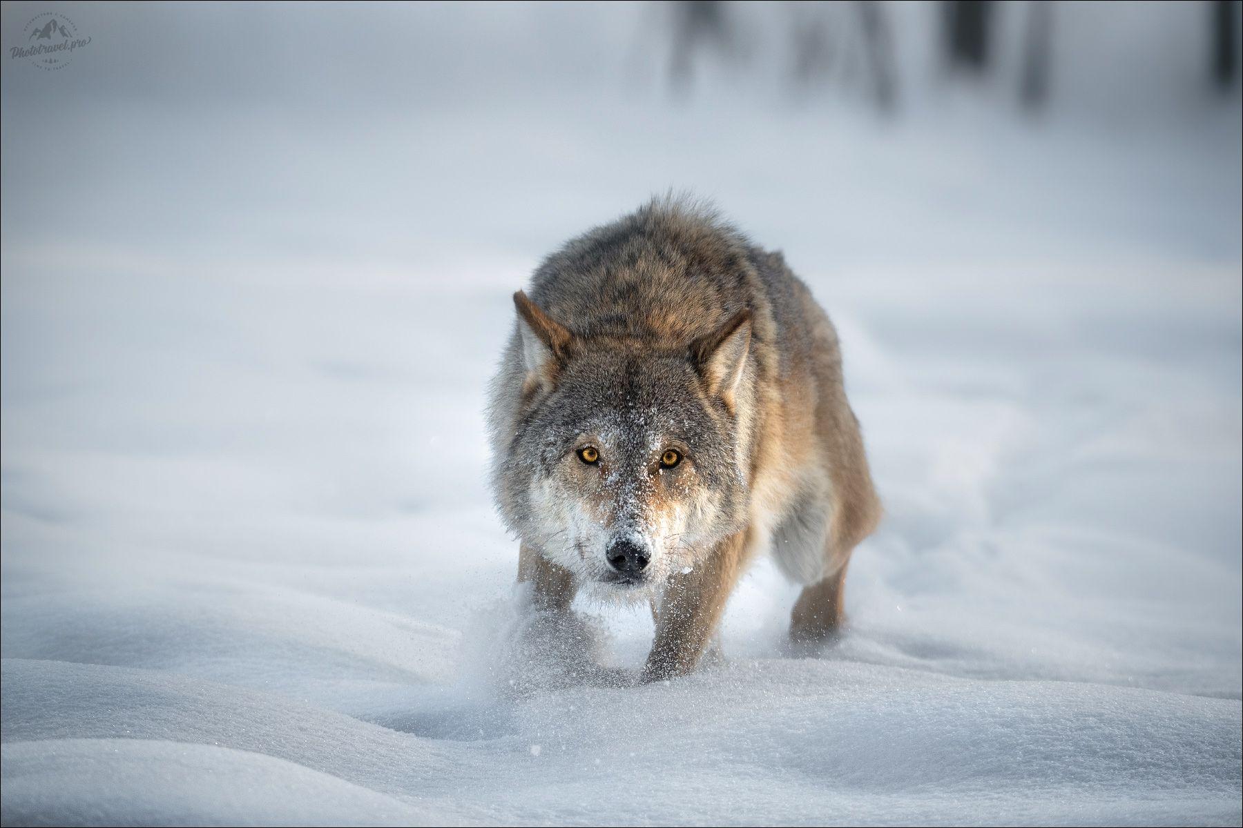 волк, wolf, красная шапочка, беларусь, красный бор, фототур в красный бор, фотоохота, canis lupus, red riding hood, серый волк, обыкновенный волк, евразийский волк, европейский волк,, Влад Соколовский