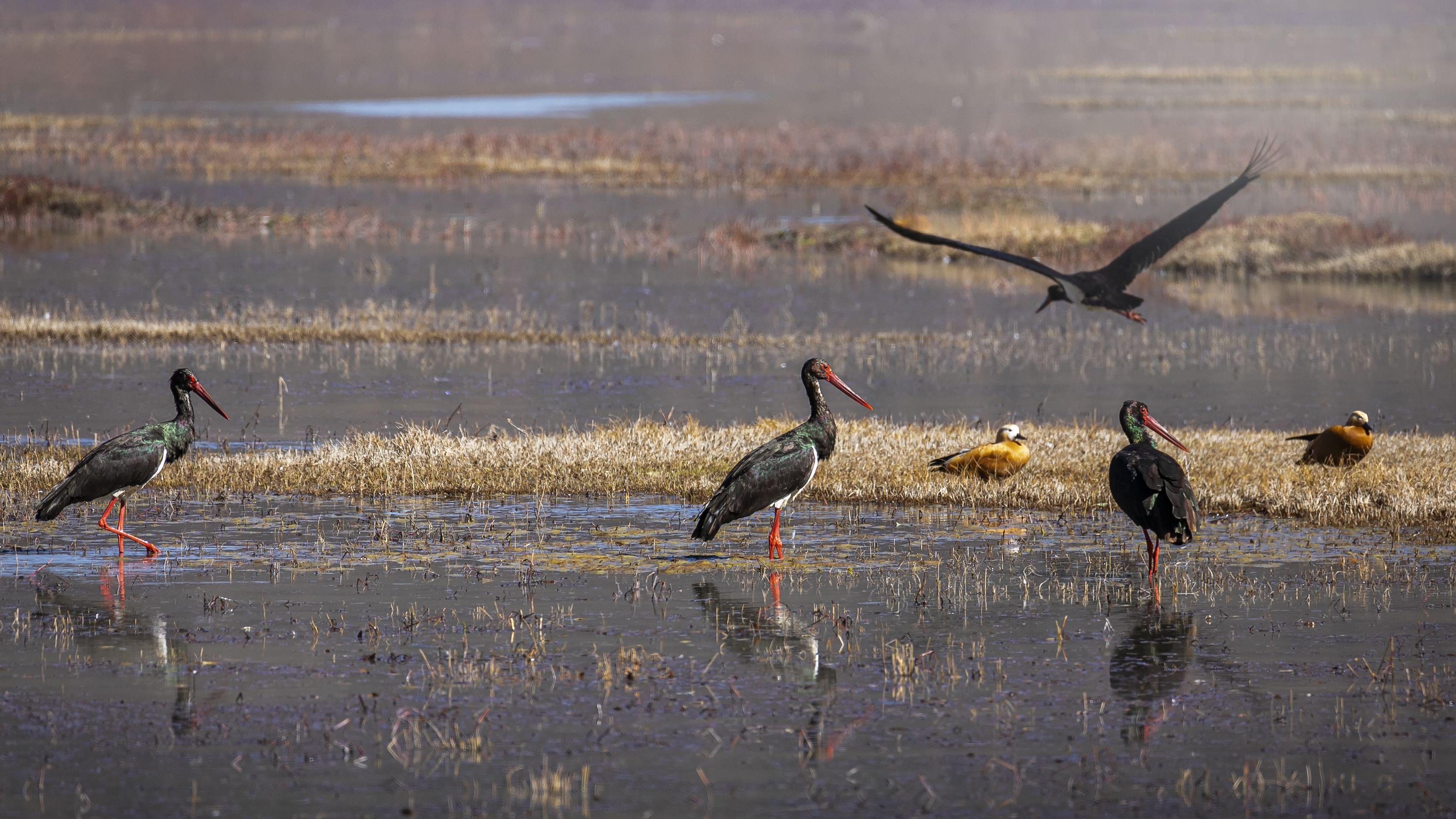 чёрный аист, птицы, birds, black stork, Токарев Олег