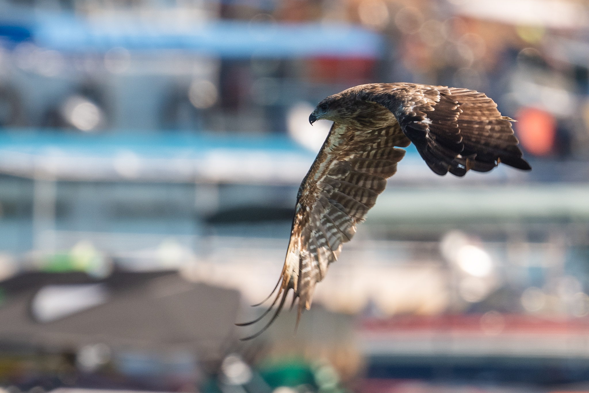 #wildlife #birds #eagle, Chan Benny