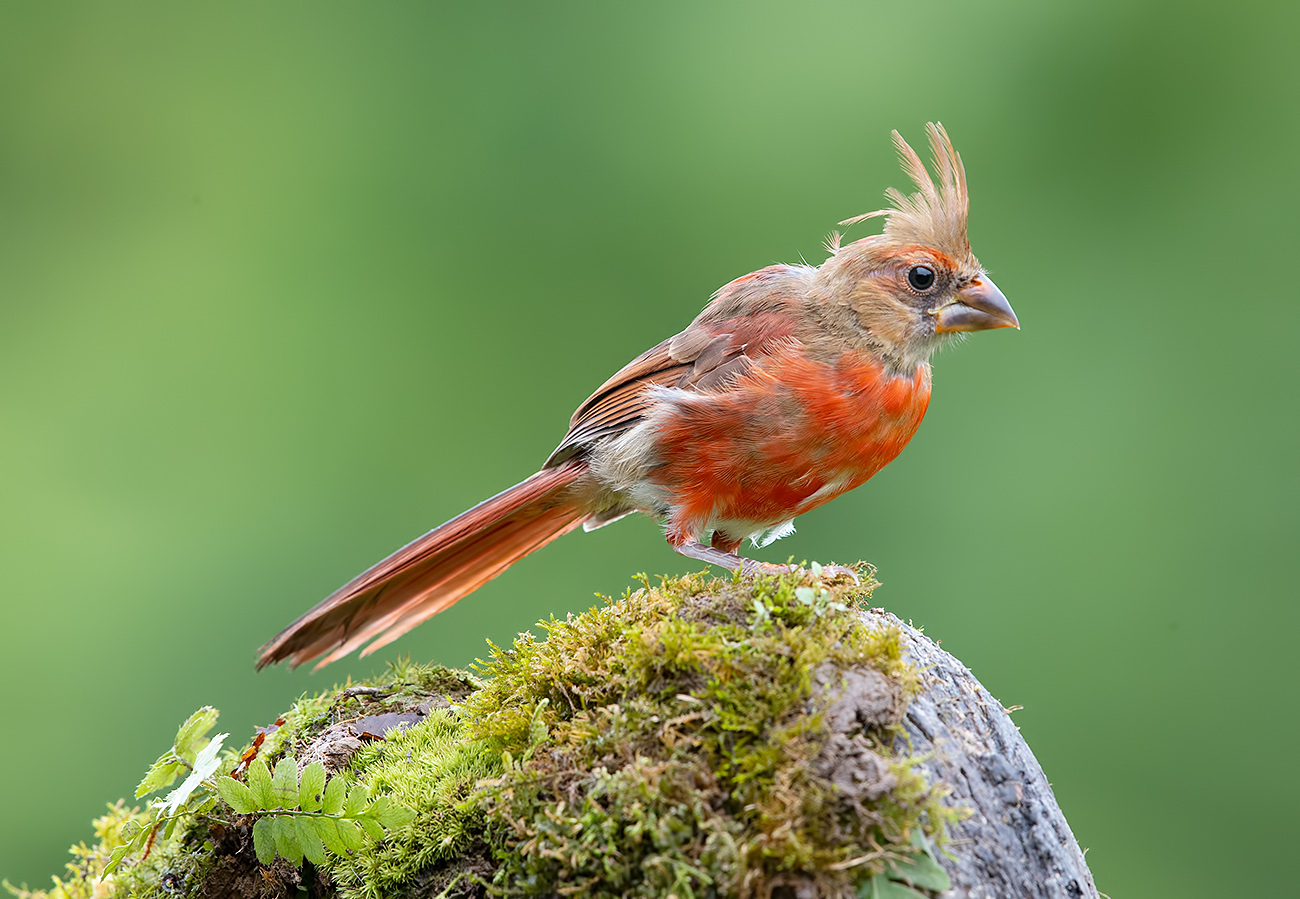 красный кардинал, northern cardinal, cardinal,кардинал, Etkind Elizabeth
