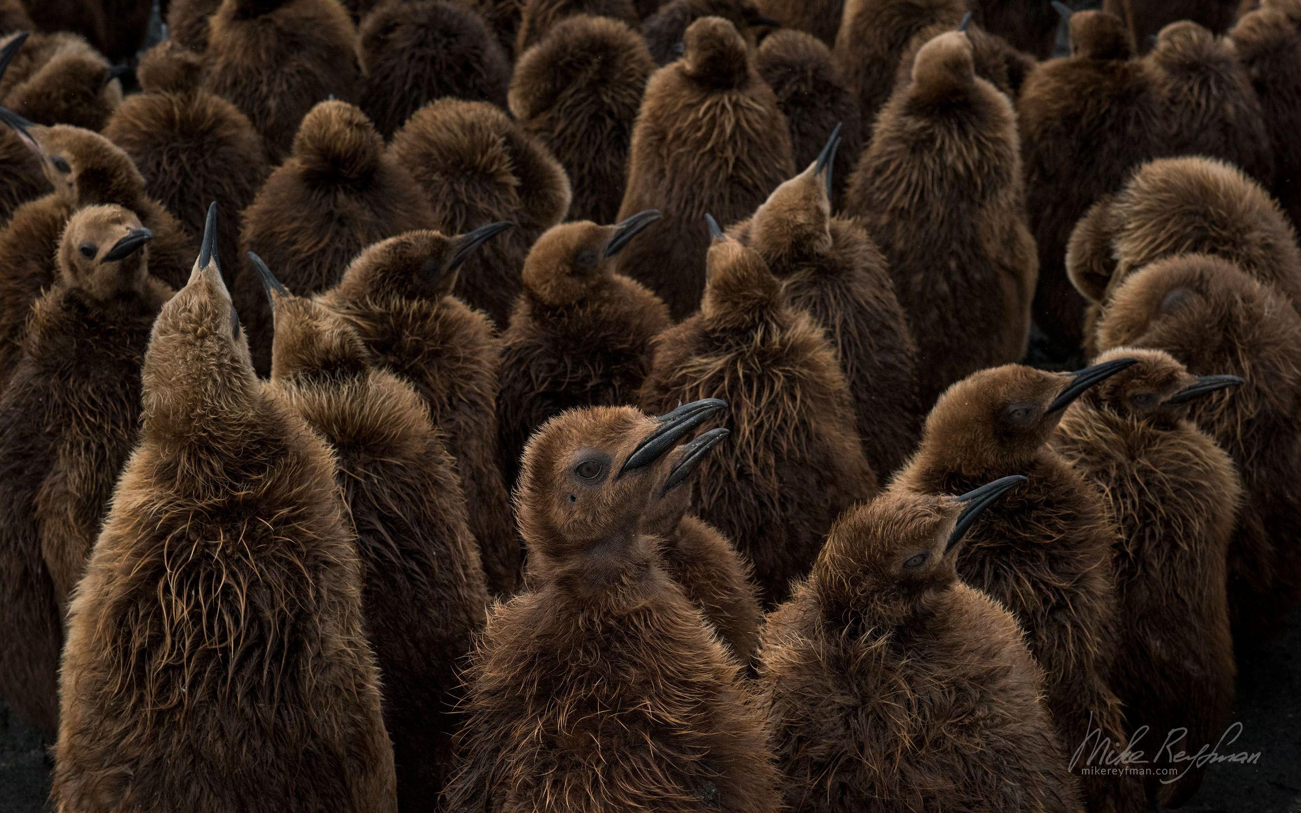 south georgia island, animal behavior, wildlife, animals in the wild, beach, south georgia, king penguin, salisbury plain, chicks, creche, rookery, Майк Рейфман