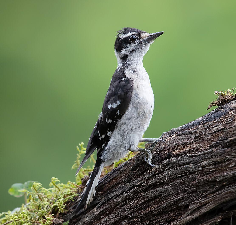 downy woodpecker, woodpecker, дятел, Etkind Elizabeth