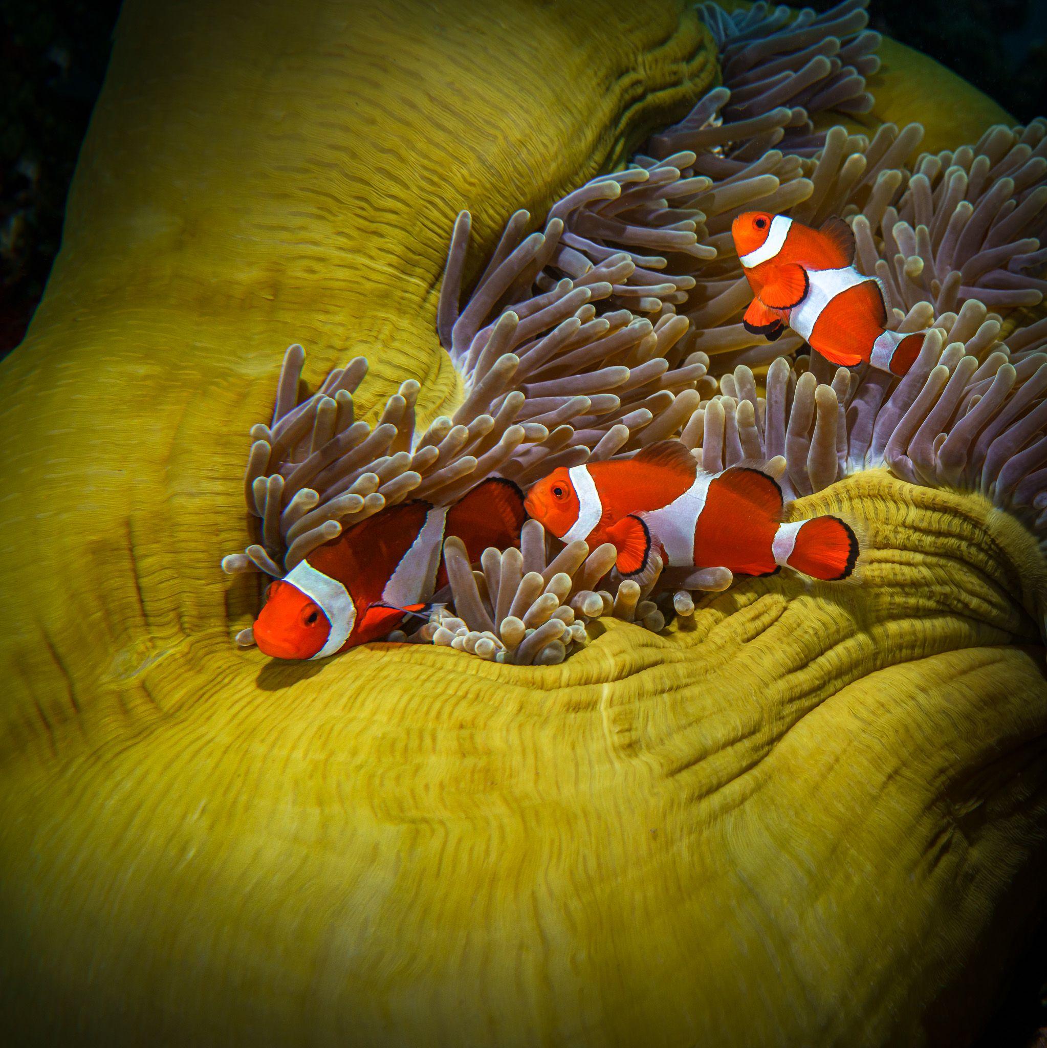 рыбы, клоун, анемон, clownfish, amphiprion, природа, море, жизнь, океан, дайвинг, симбиоз, животное, макро, немо, яркий, плывут, подводное, underwater, под водой, scuba, Савин Андрей
