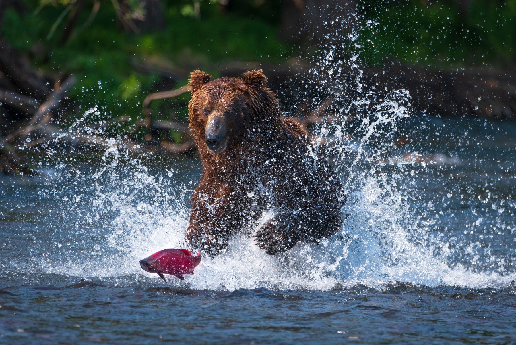 камчатка, медведь, рыбалка, улов, Степанова Татьяна