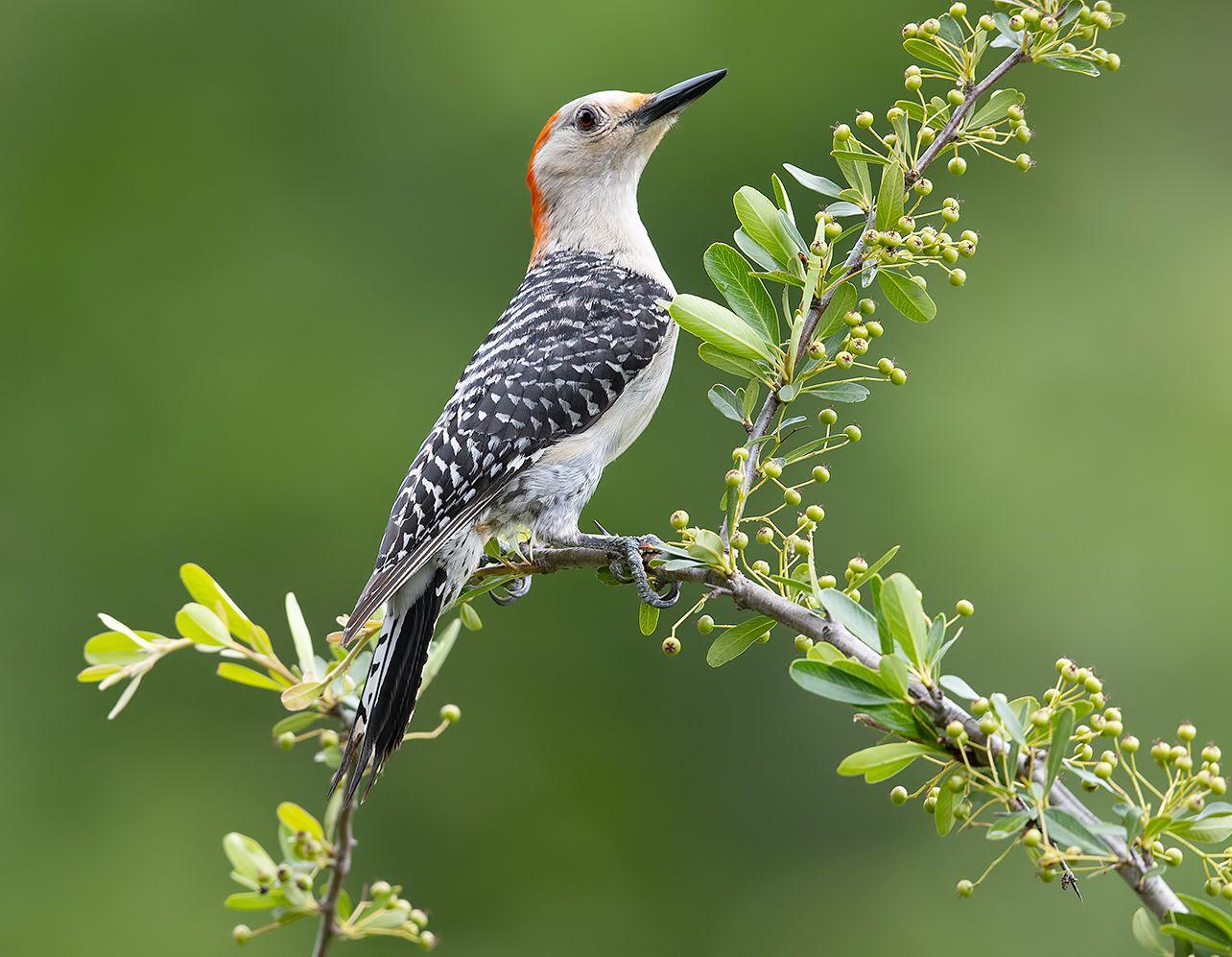 дятел, каролинский меланерпес, red-bellied woodpecker, woodpecker, Etkind Elizabeth