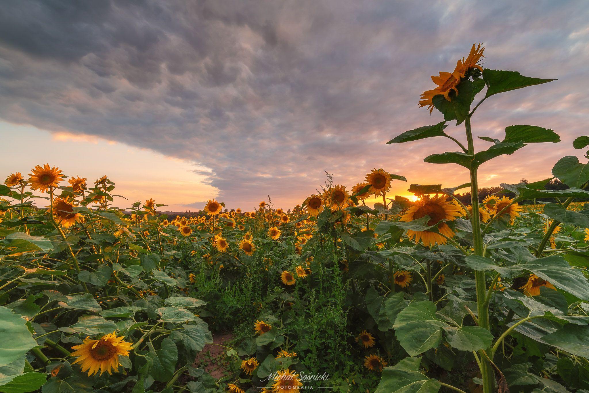 #sunflower #sunflowers #sunset #sky #flower #flowers #sky #poland #summer, Sośnicki Michał