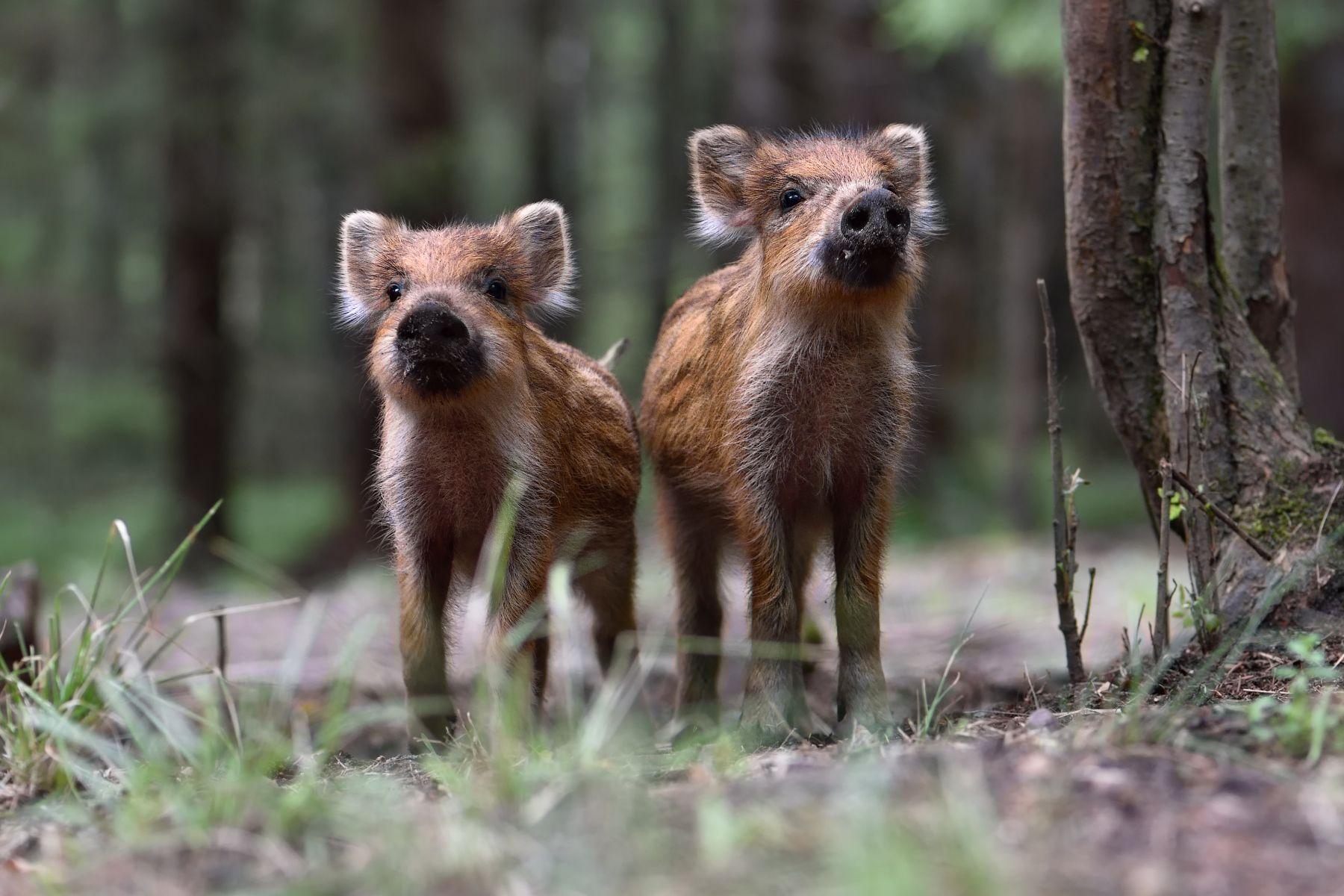 лес,животные,кабаны, Полуэктов Виталий