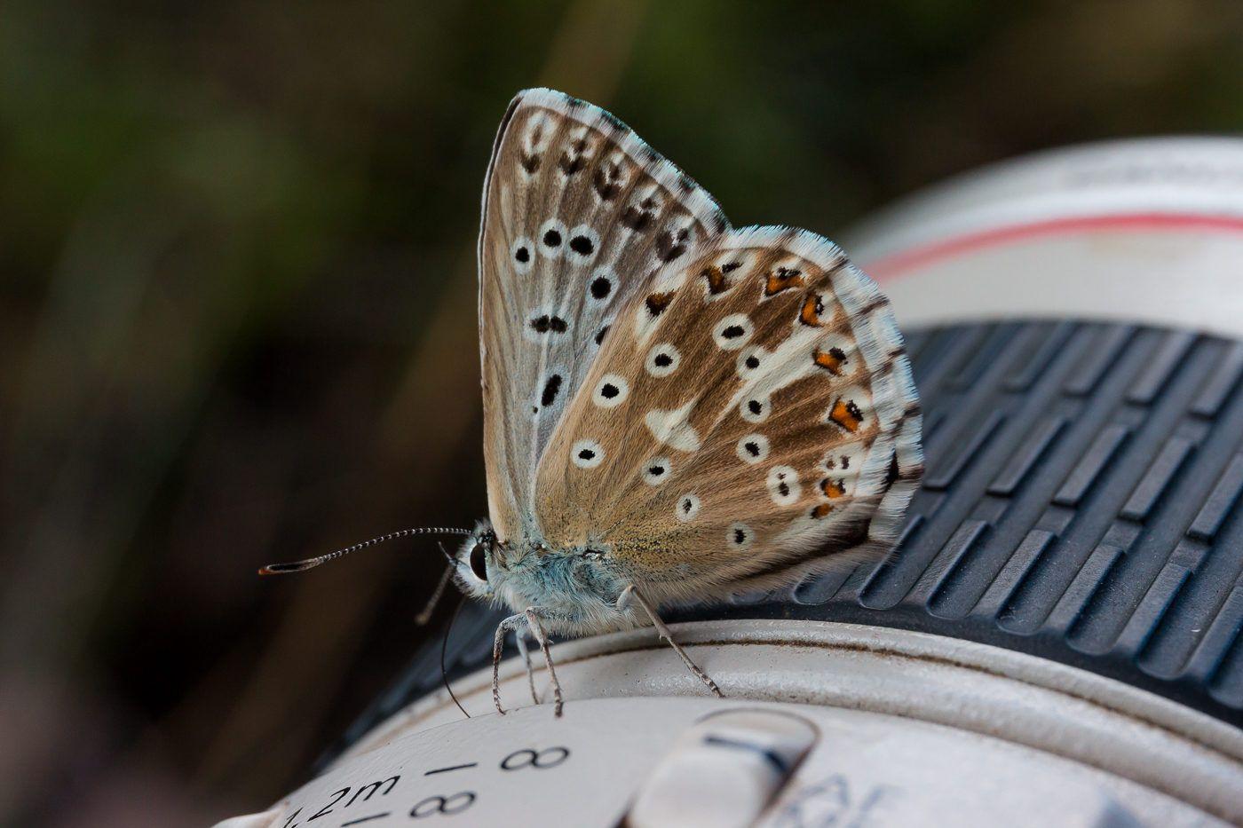 wildlife, insects,butterfly, насекомые, бабочка, голубянка, икар, common blue, Юденков Алексей