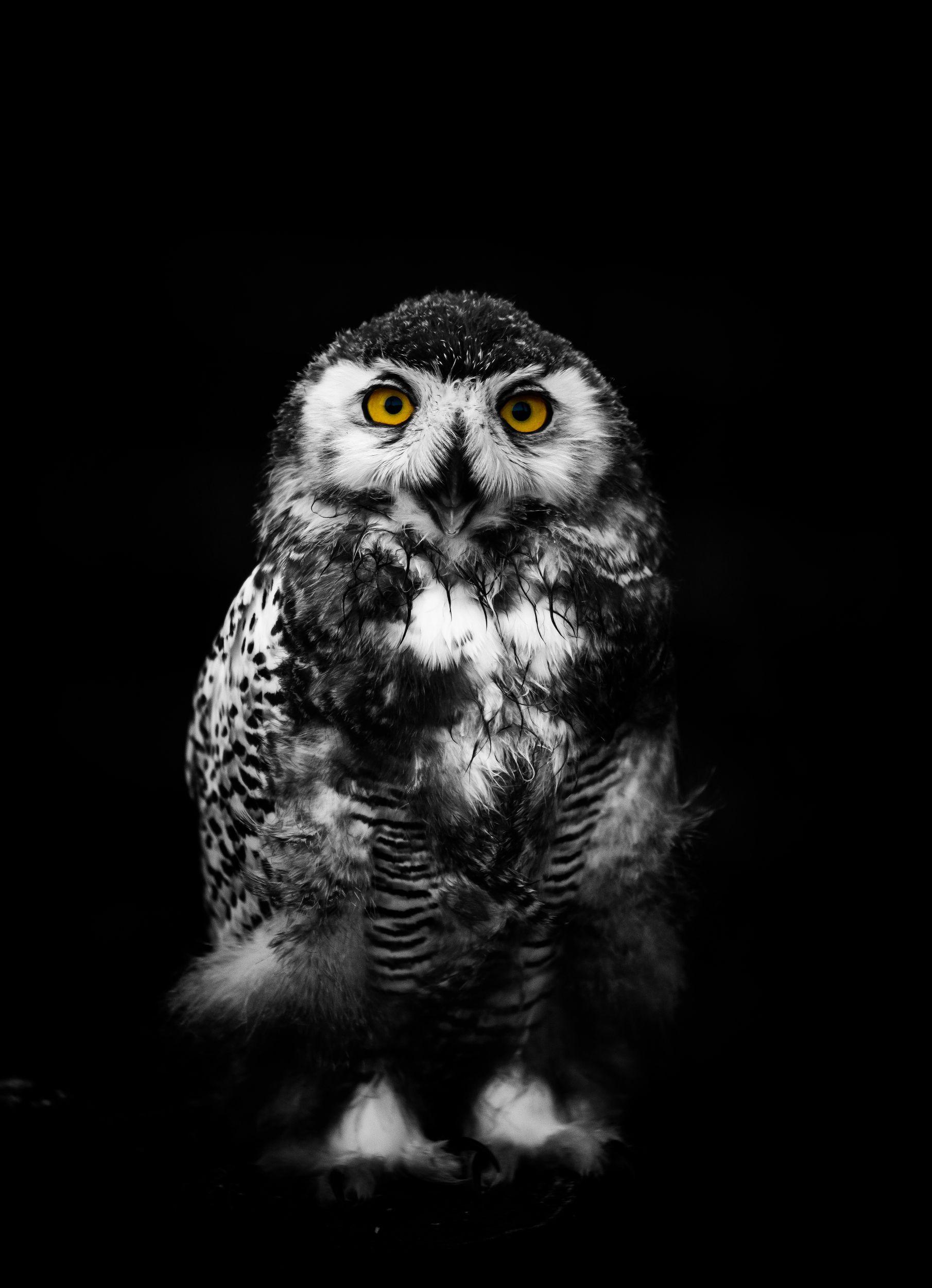 сова, птица, животное, анималистика, глаза, Даркина Дарья