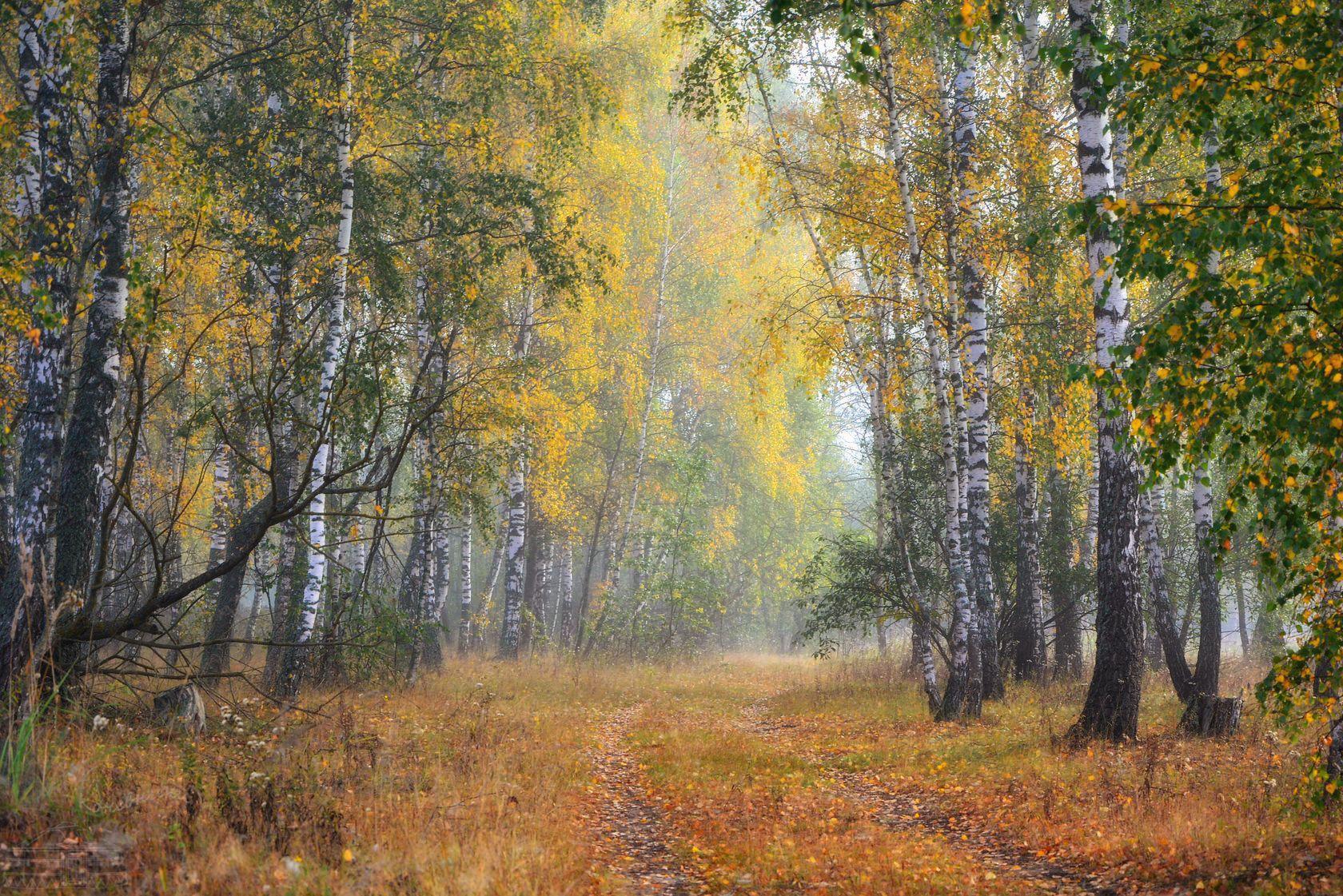 осень, утро, лес, березы, листва, туман, туманное утро, Абрамова Юлия