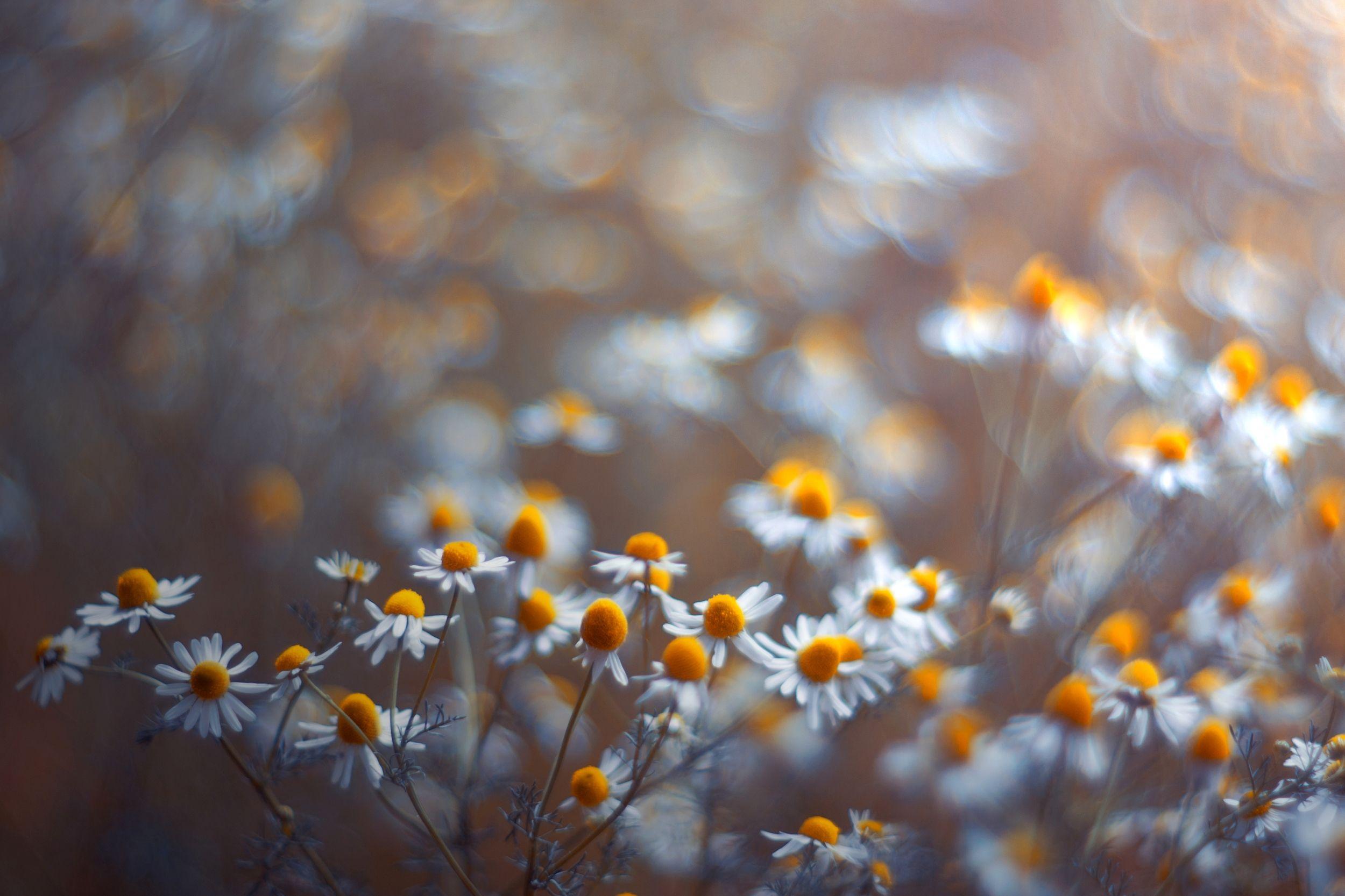 white,bokeh,zenit,helios,85mm,flowers,nature,blue,white,, Борислав Алексиев