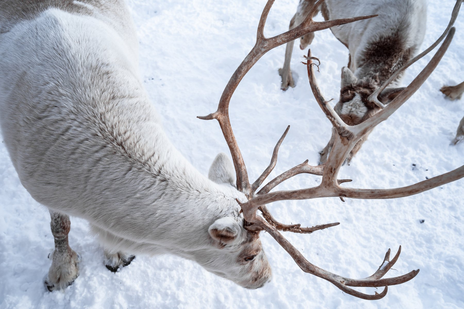 outdoor; group of animals; wilderness; wild animals; naked; grazing; wild; lapland; nordic; elk; natural; stag; travel; horn; male; scandinavia; single of animals; animals hunting; extreme terrain; wildlife; animal; snow; mammal; caribou; winter; north; r, Leonov Dmitry