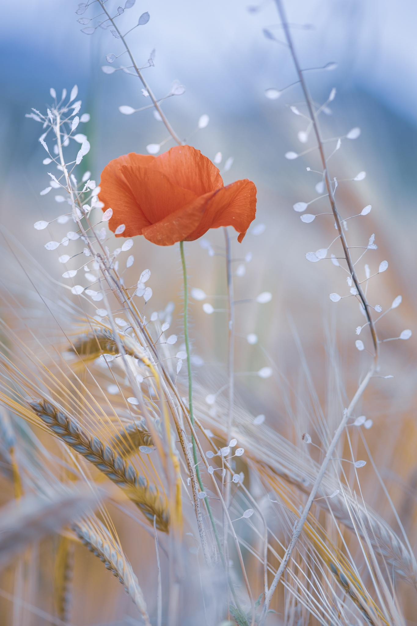 spring. poppies, wheat, nature, macro, flowers, plants, red, blue, white, Righi Eugenia