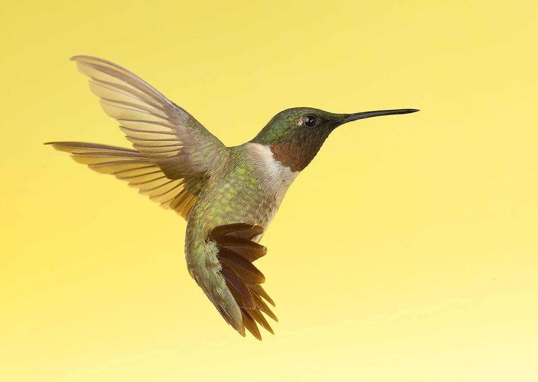 колибри,ruby-throated hummingbird, hummingbird, Etkind Elizabeth