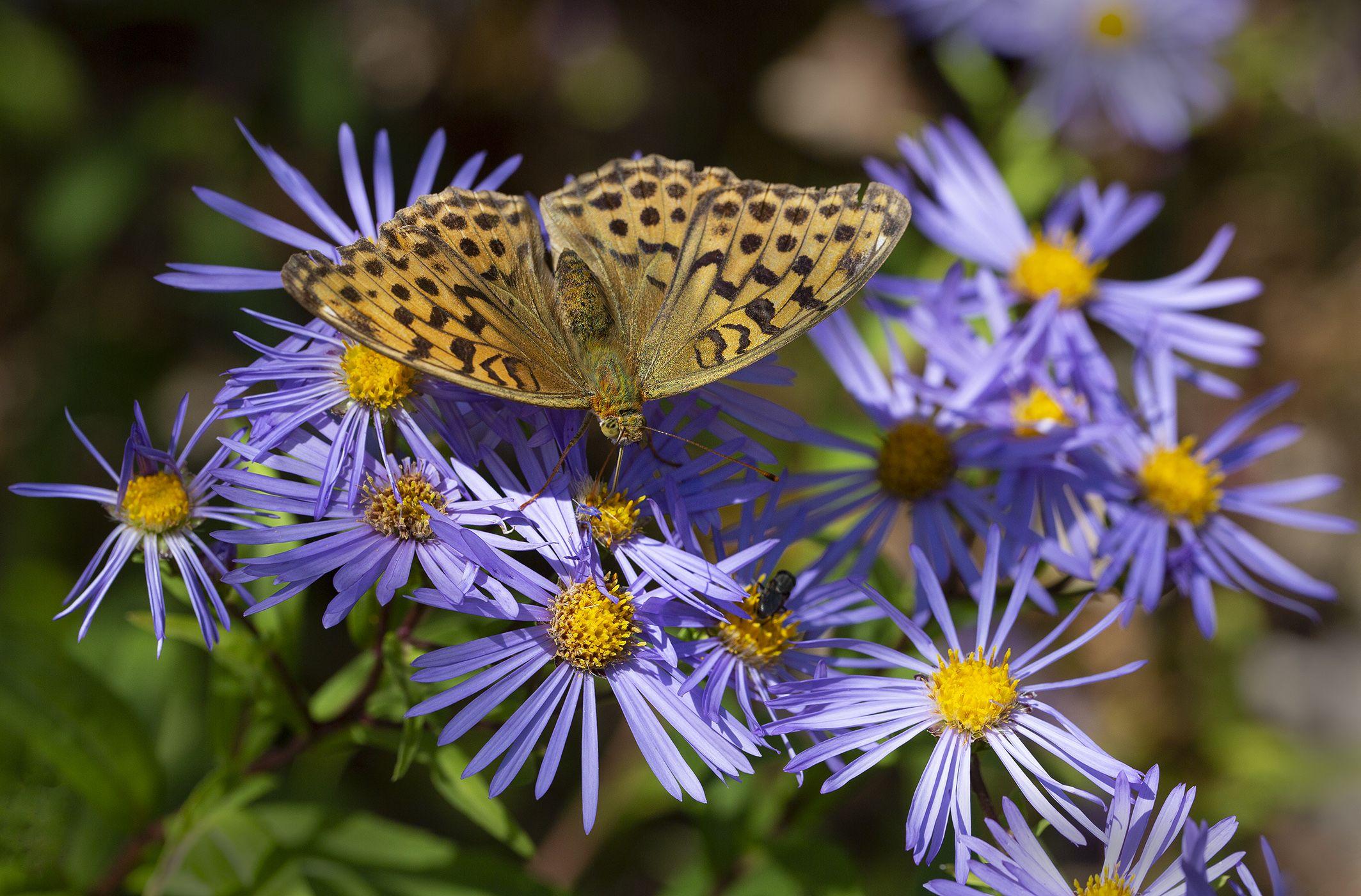 бабочка перламутровка астра  остров русский владивосток сентябрь, Слободской Евгений