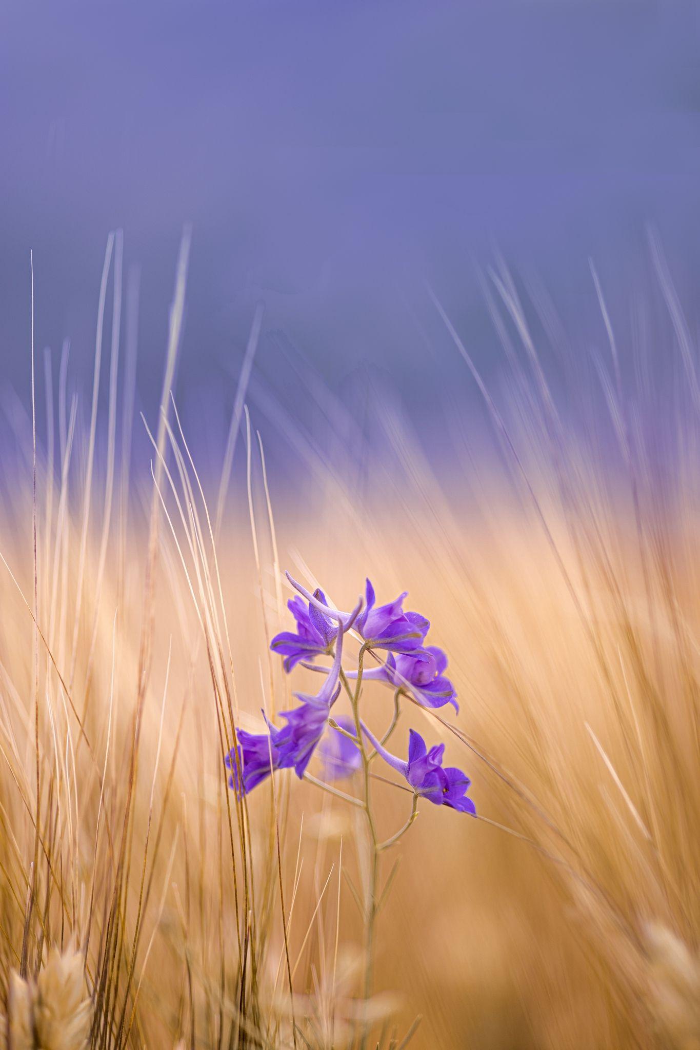 yellow, flowers, wheat, summer, spring, sky, macro, closeup, Righi Eugenia