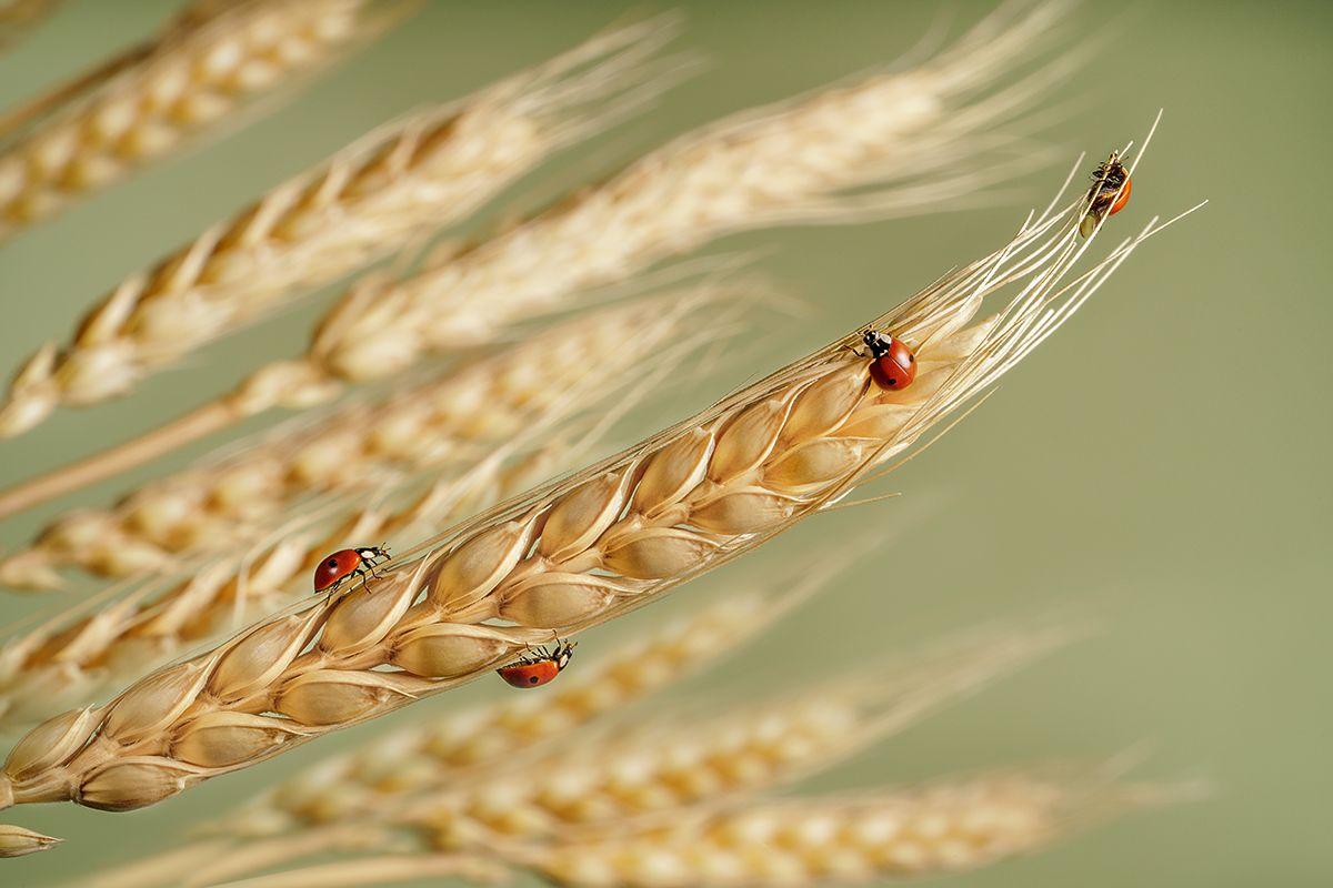 божьи коровки, жуки, насекомые, макро, колосья, пшеница, Ольга ЯR