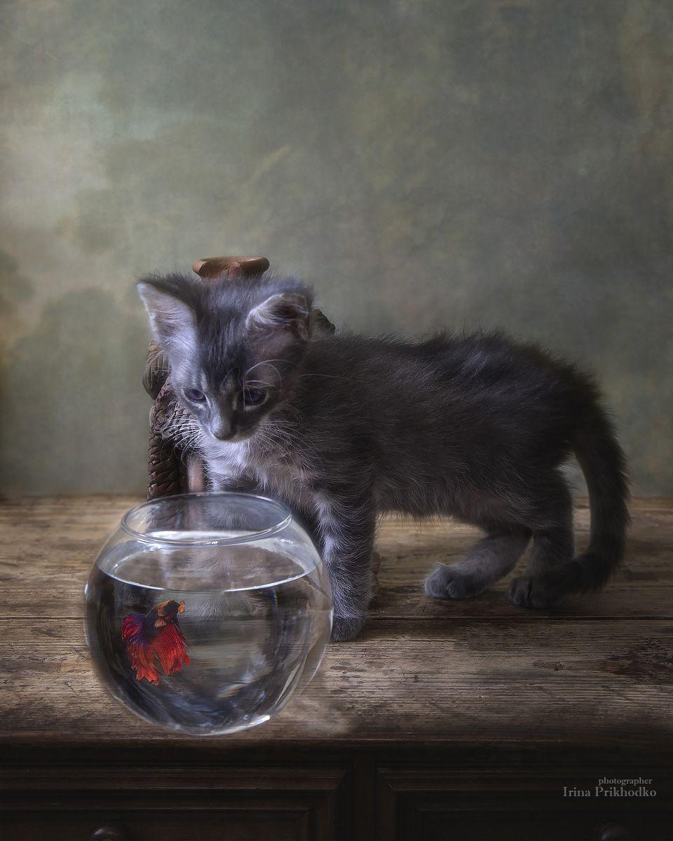 постановочное фото, животные, домашние питомцы, котенок, аквариумные рыбки, сиамский петушок, Приходько Ирина