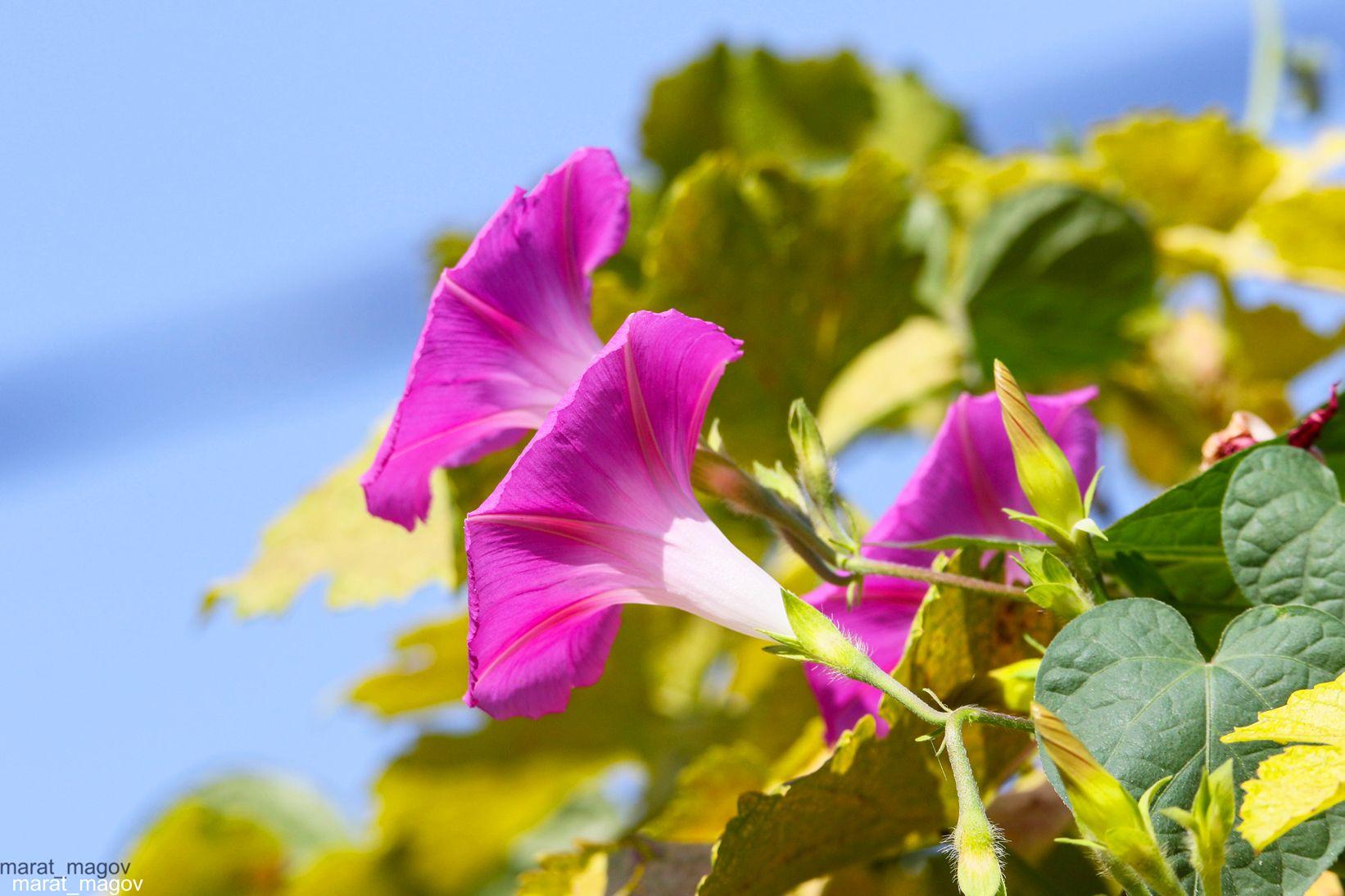 флора,природа,цветы,, Magov Marat