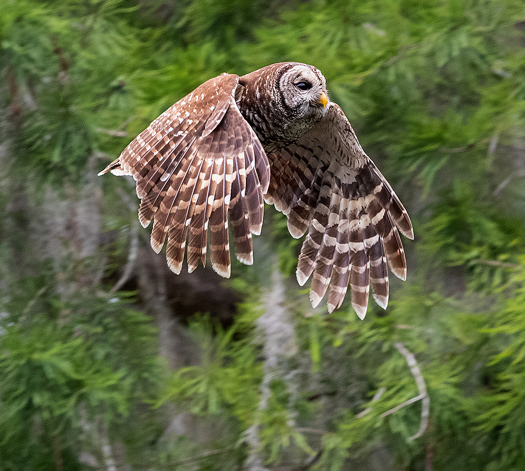 пёстрая неясыть, cова, owl, florida,флорида, хищные птицы, barred owl, Etkind Elizabeth