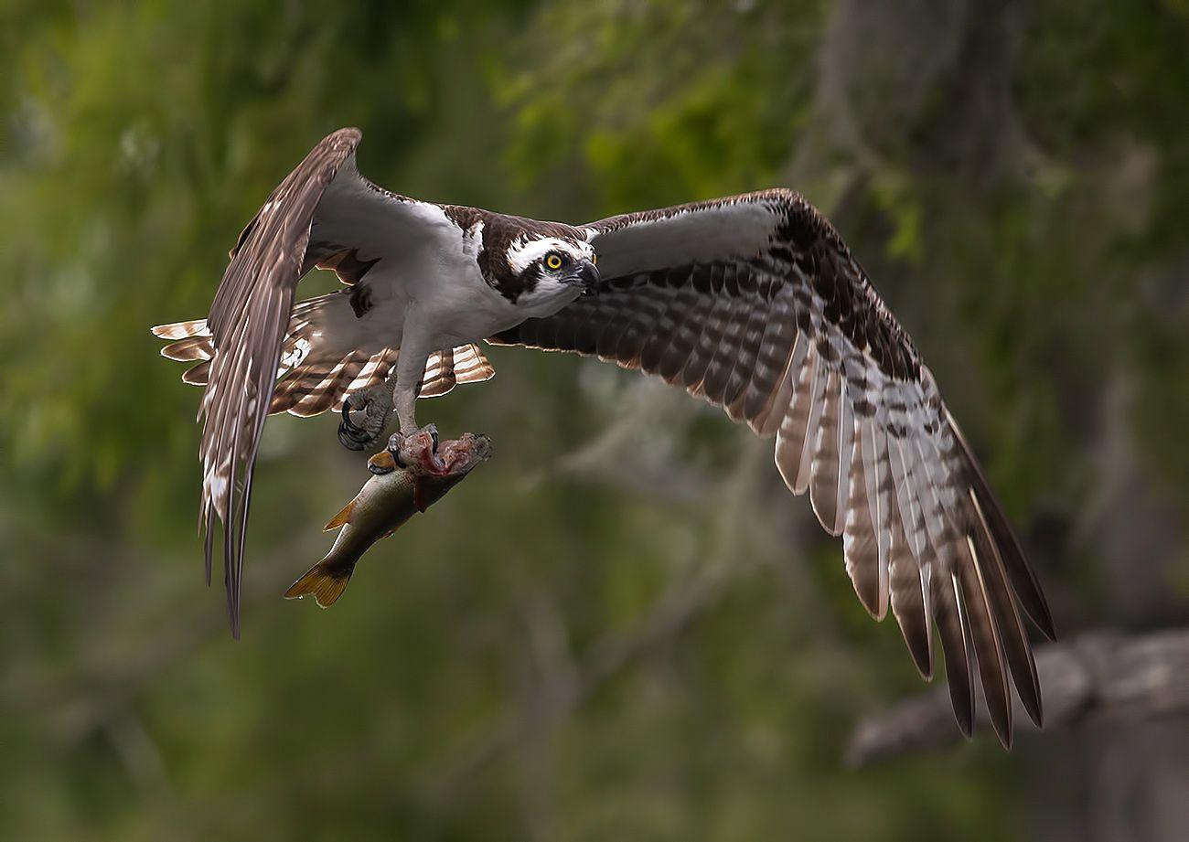 cкопа, osprey, florida, хищные птицы, Etkind Elizabeth