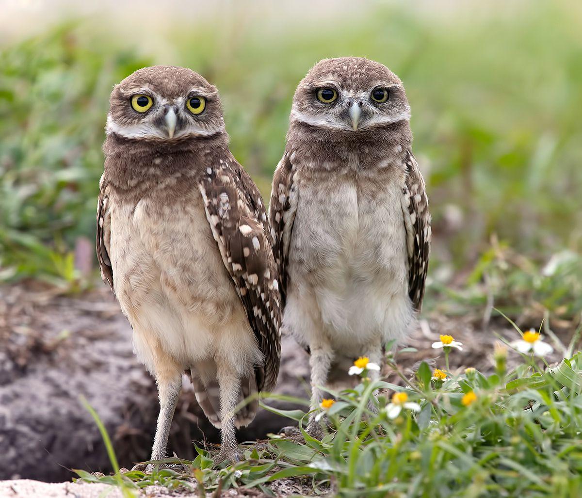 кроличий сыч, florida,burrowing owl, owl, флорида,сыч, Etkind Elizabeth