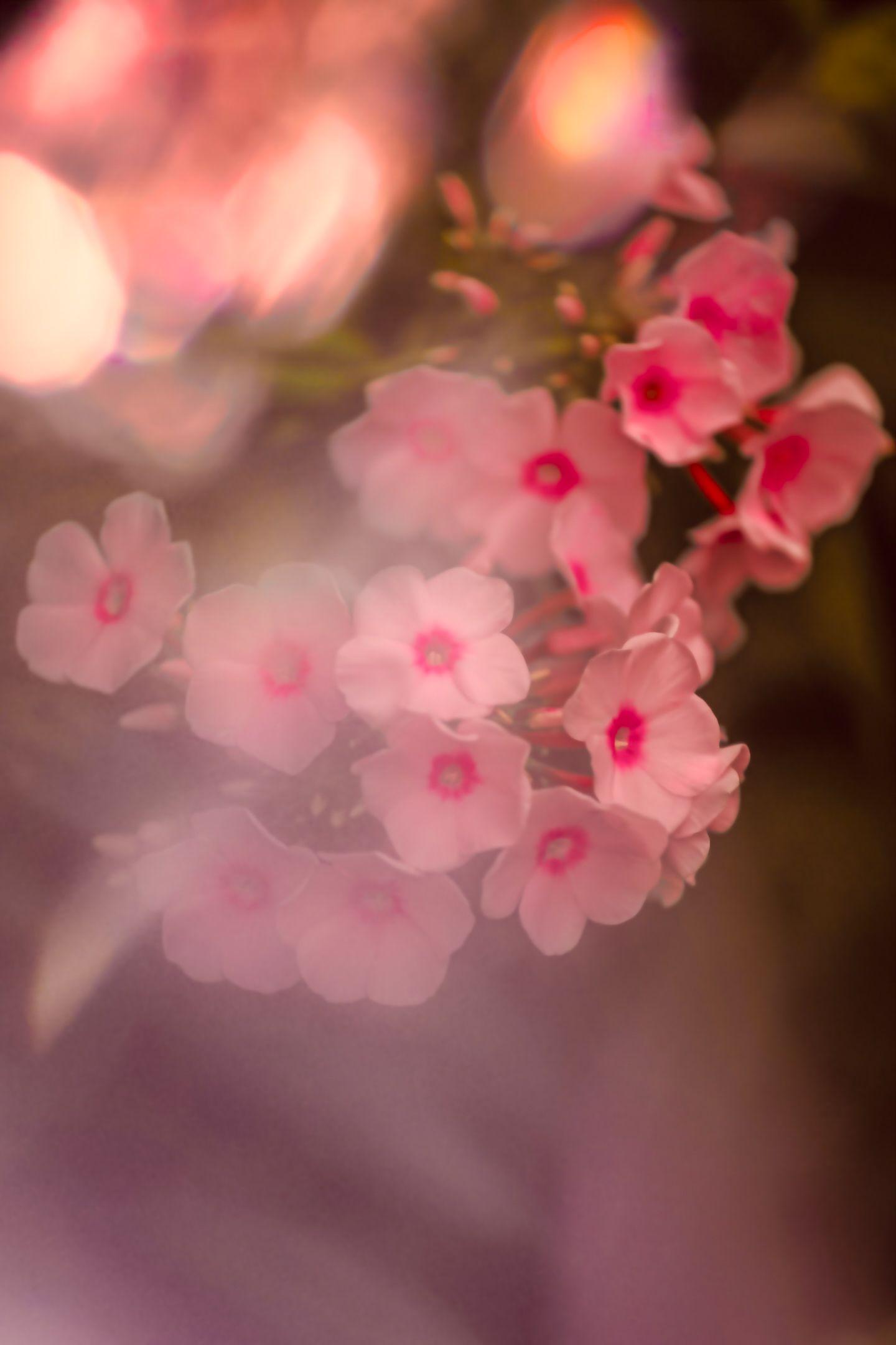 флоксы, цветы, flowers, phloxes, Julia Kaissa