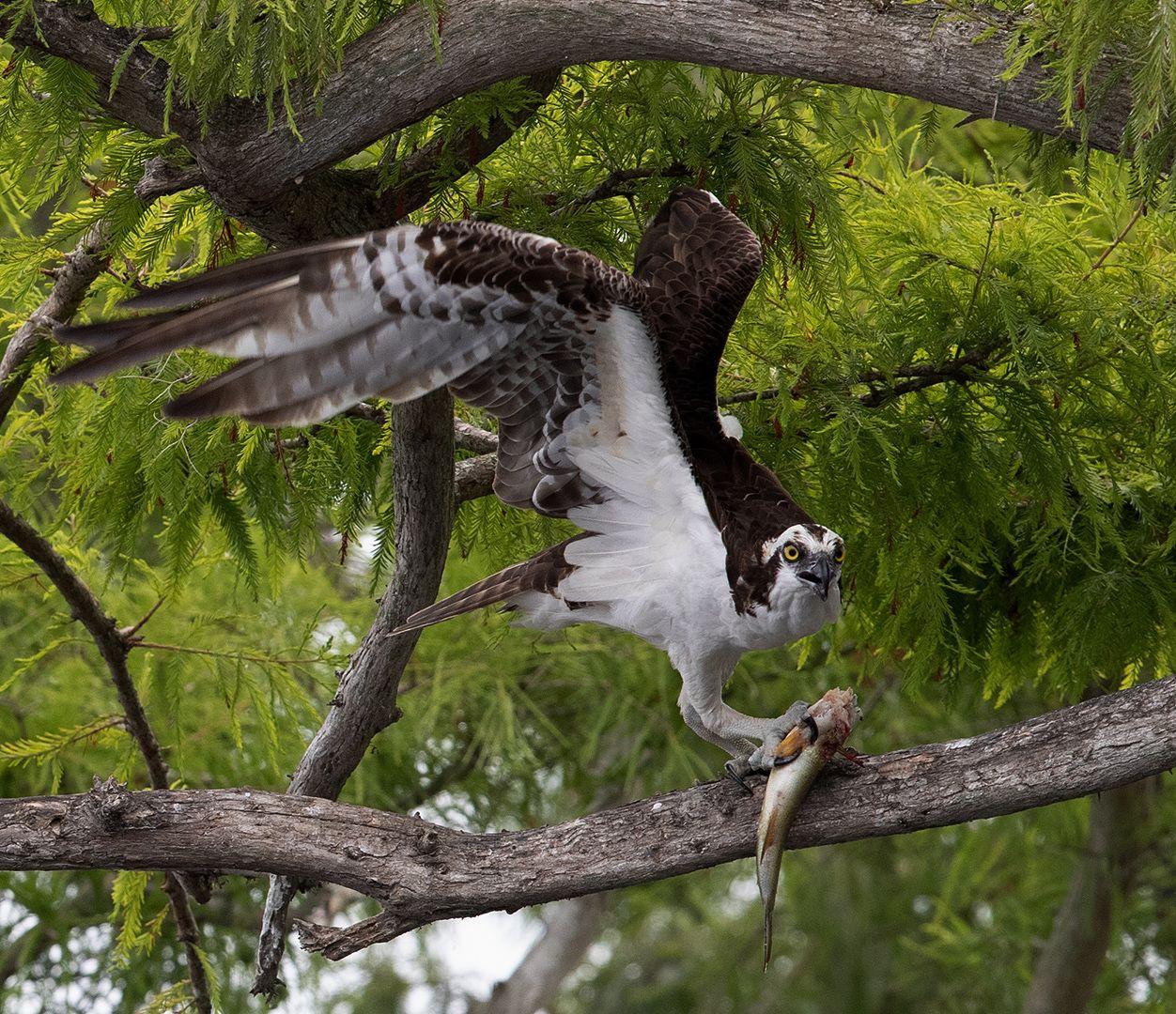 скопа, osprey, florida, флорида, хищные птицы, Etkind Elizabeth