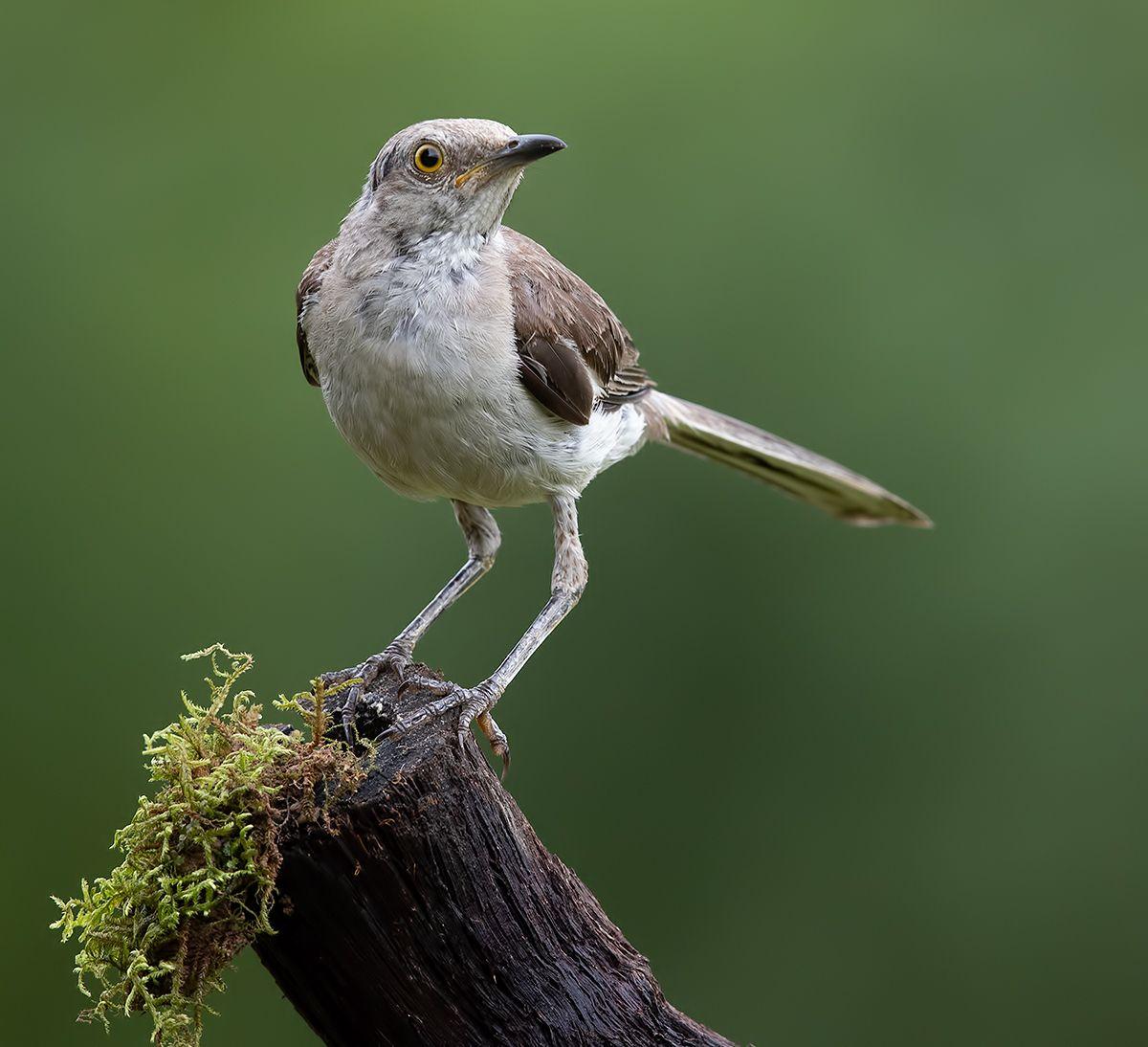 многоголосый пересмешник, northern mockingbird, пересмешник, Etkind Elizabeth
