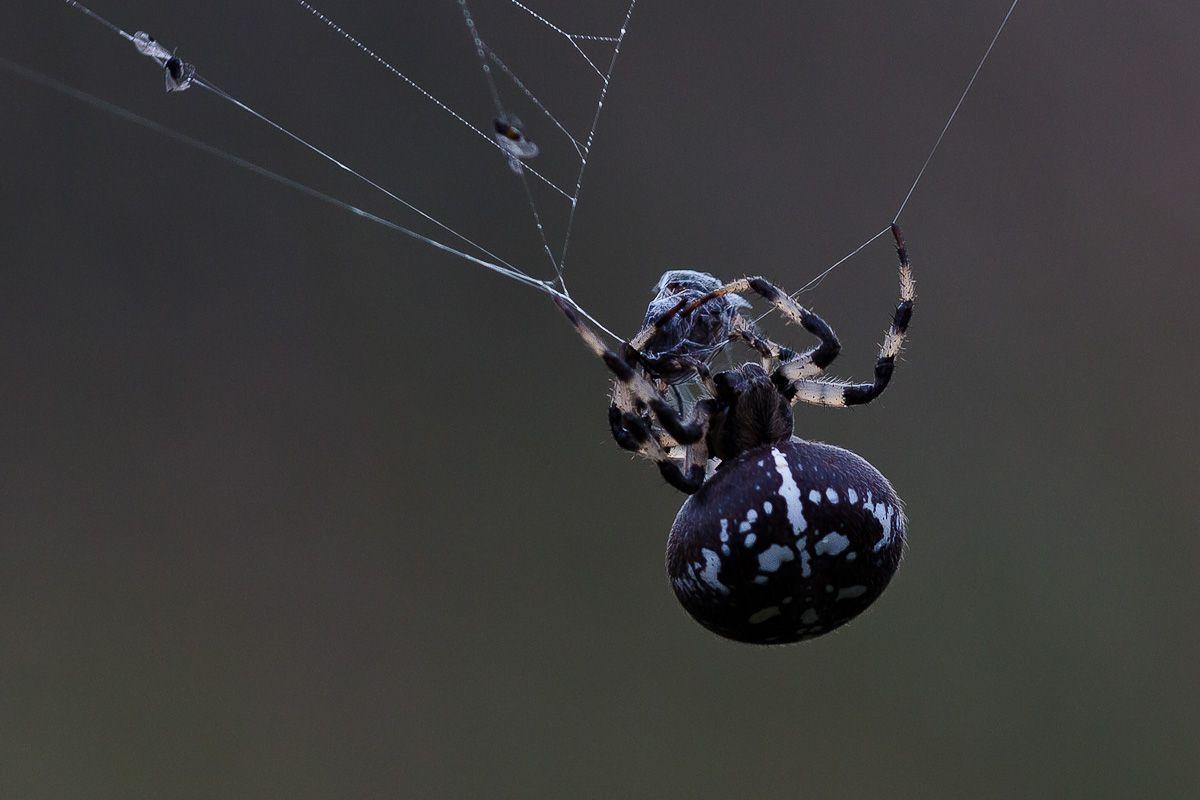 wildlife, insects,насекомые, пауки, крестовик, araneus, Юденков Алексей