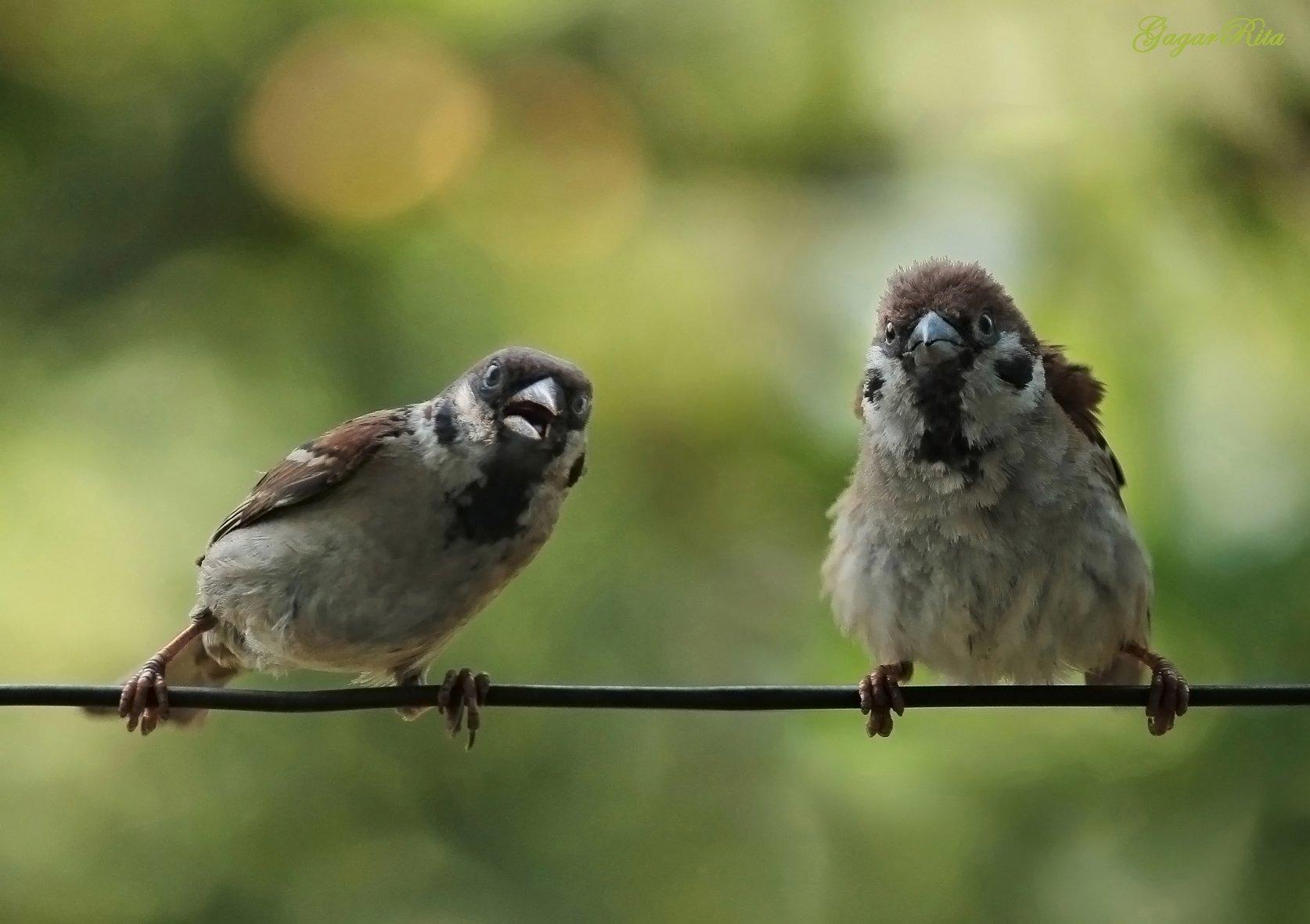 воробьи, птицы, животные, Rita Gadar