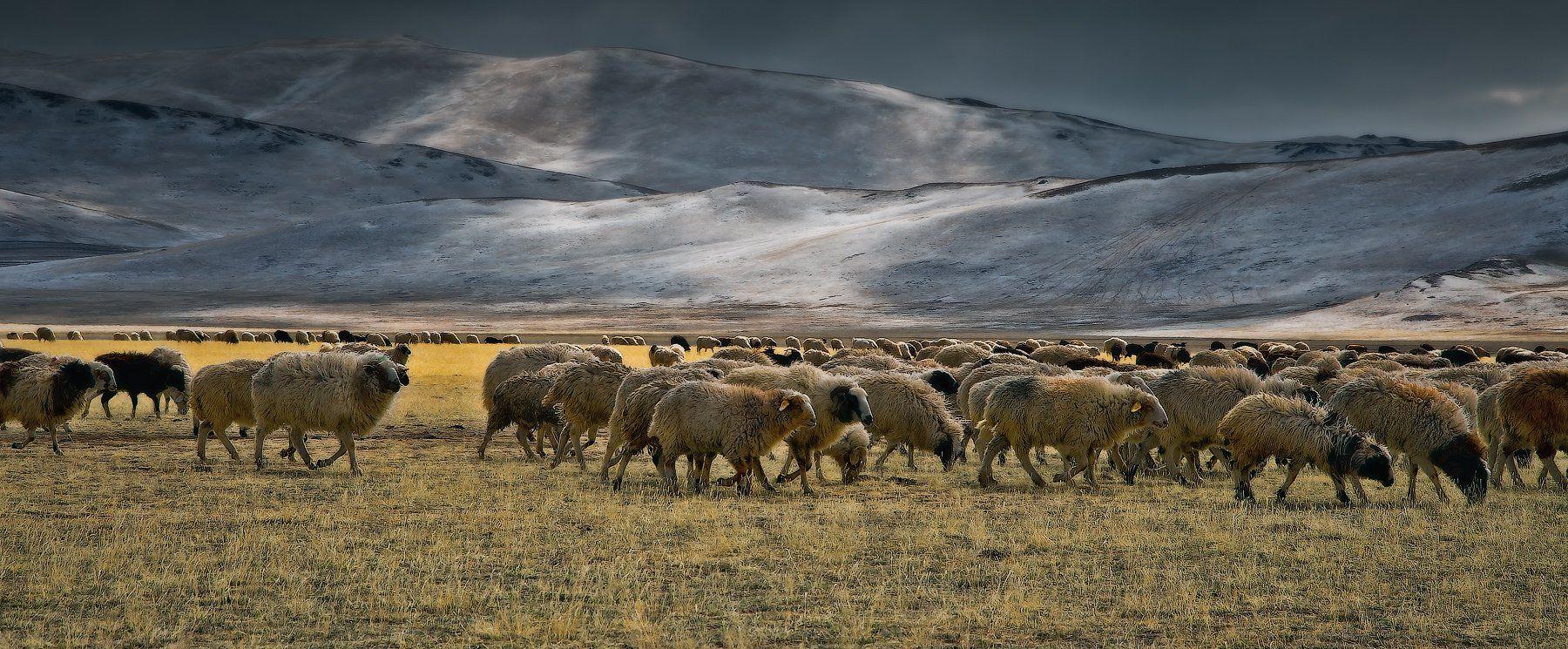 Central Asia region, Flock of sheep, Горы, Животные, Отара, Отроги, Пасмурно, Пастбище, Пейзаж, Природа, Степь, holod