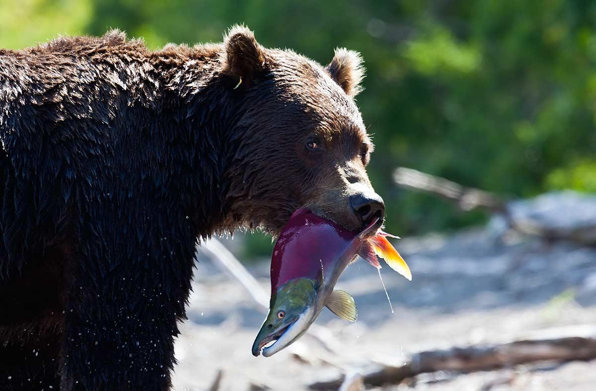 медведь, нерка, курильское озеро, южно-камчатский заказник, Дмитрий Уткин