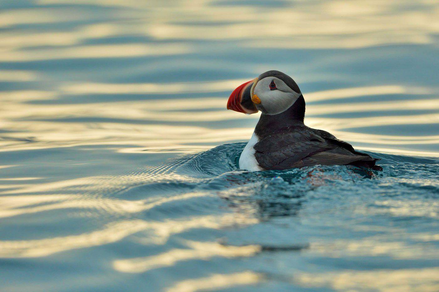 Арктика, Норвегия, Шпицберген, исландский тупик, птица, море, Анна Яценко