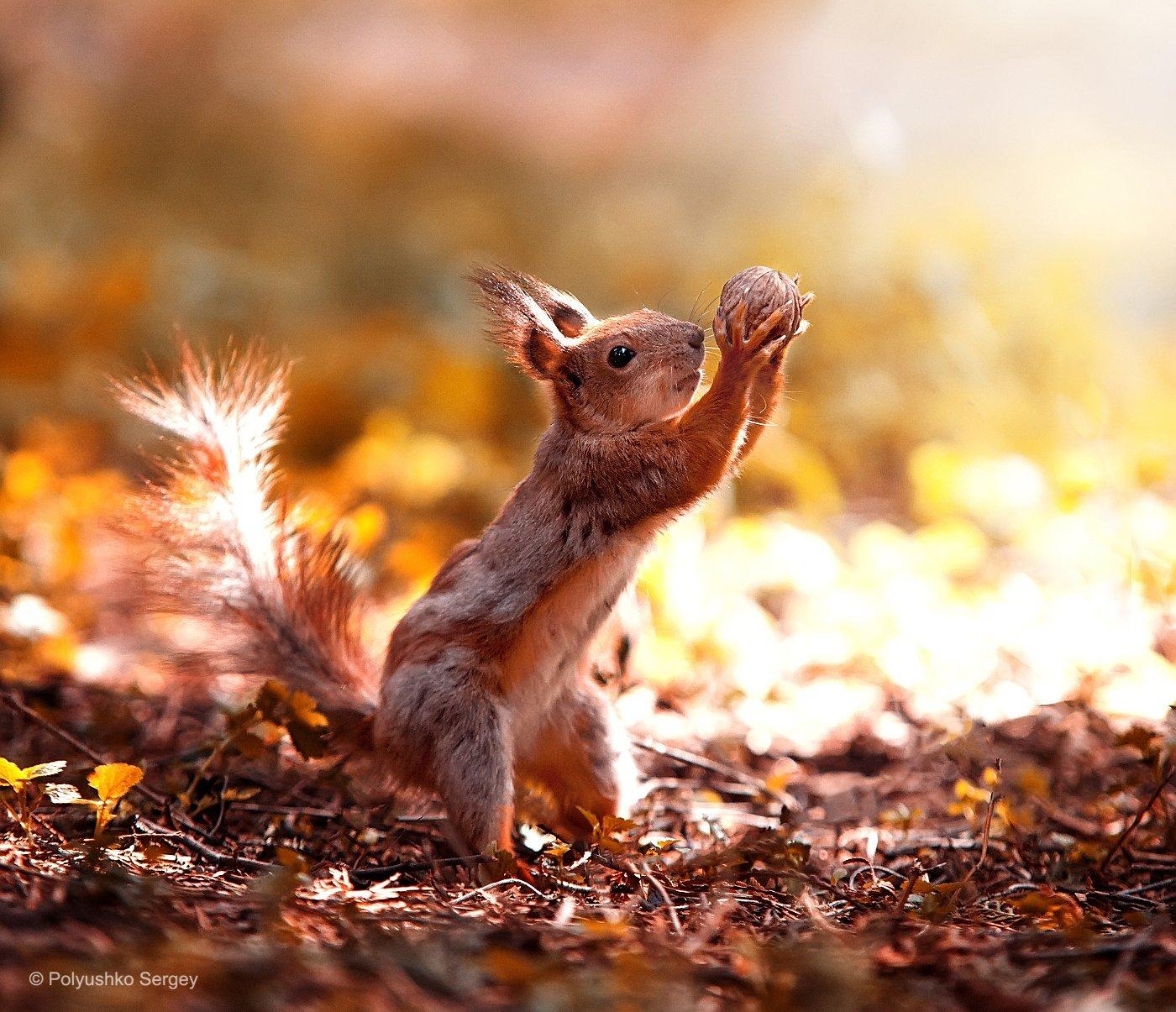 2015, Squirrel, Белка, Орех, Полюшко Сергей