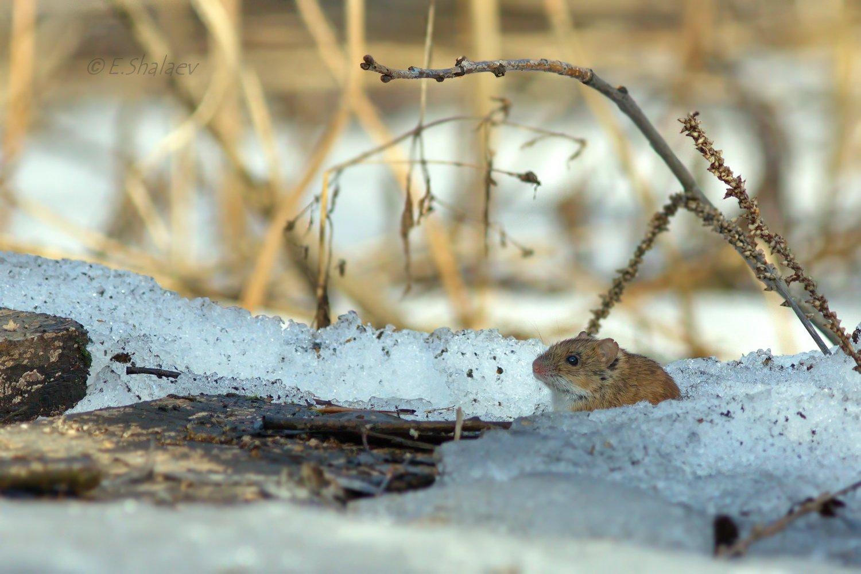 Apodemus uralensis, Mammals, Mouse, Лесная мышь, Мышь, Евгений