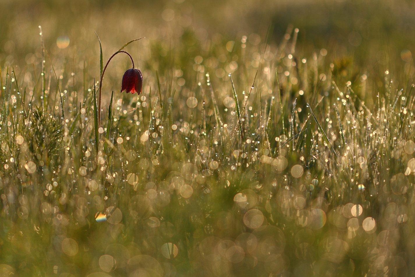fritillaria, meleagroides, малый, рябчик, самарский лес, Сергій Марков