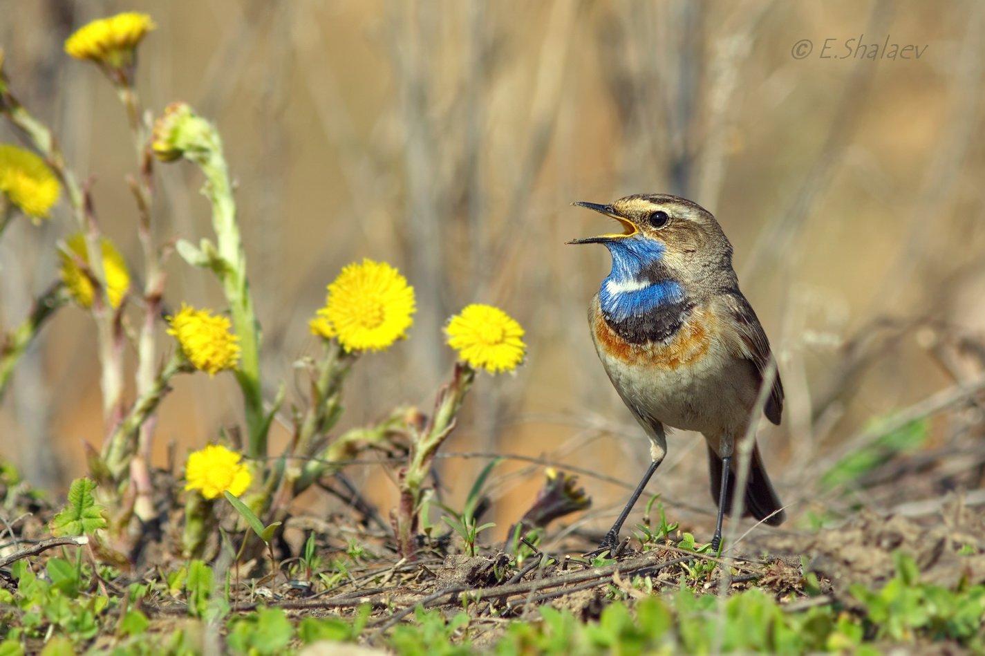 Birds, Bluethroat, Luscinia svecica, Варакушка, Птица, Птицы, Фотоохота, Евгений