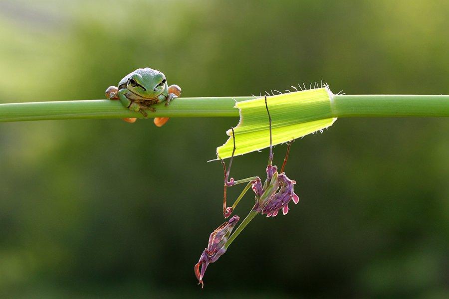 frog, mehmet
