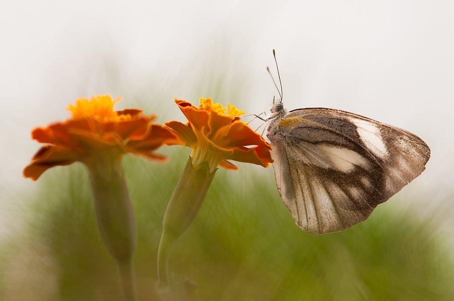 Butterfly, Budi Gunawan
