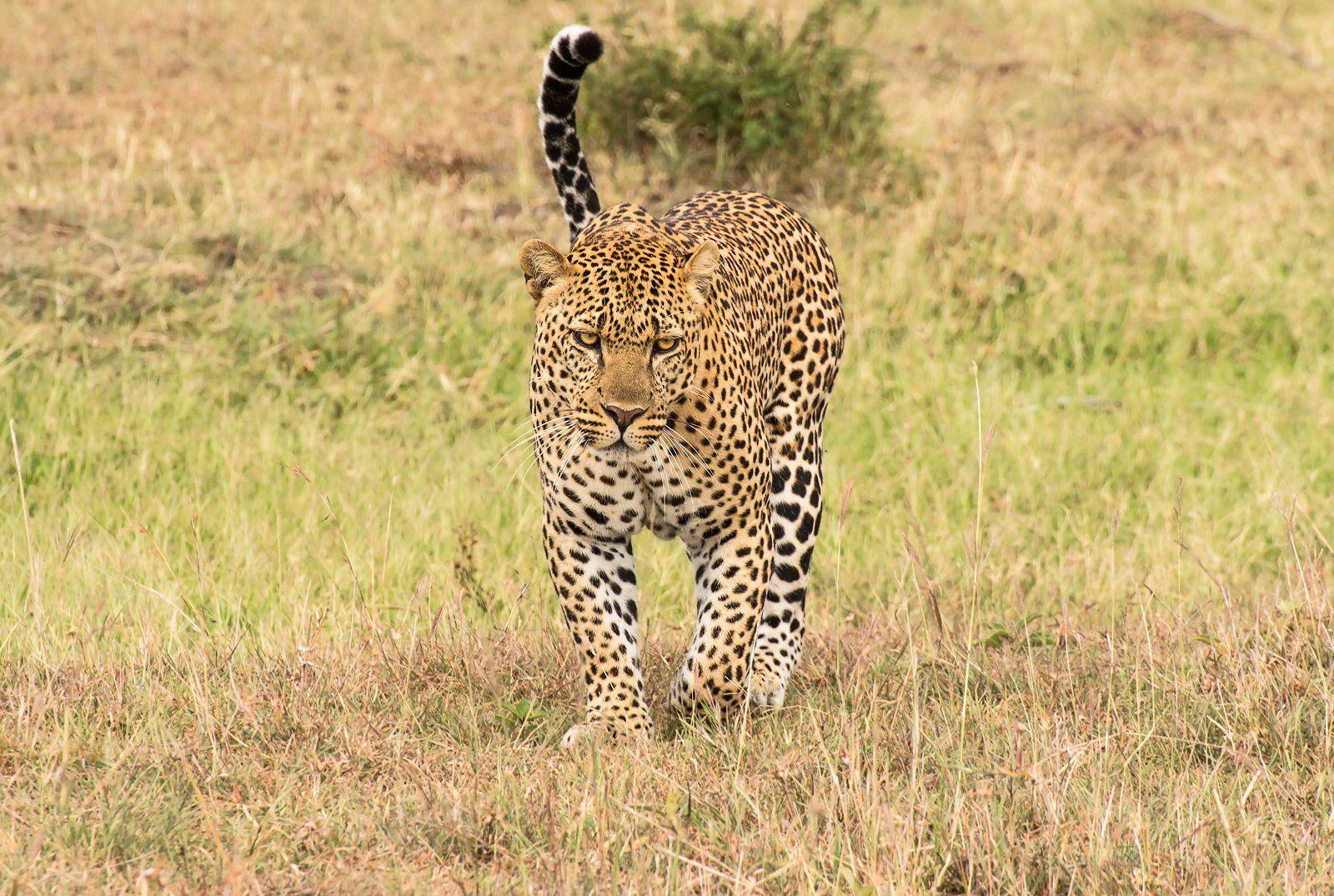 Африка, Африкакения, Дикая природа, Кошки, Леопард, Михаил Туркеев