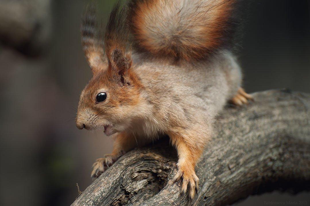 Animal, Nature, Squirrel, Бабинцева Мария
