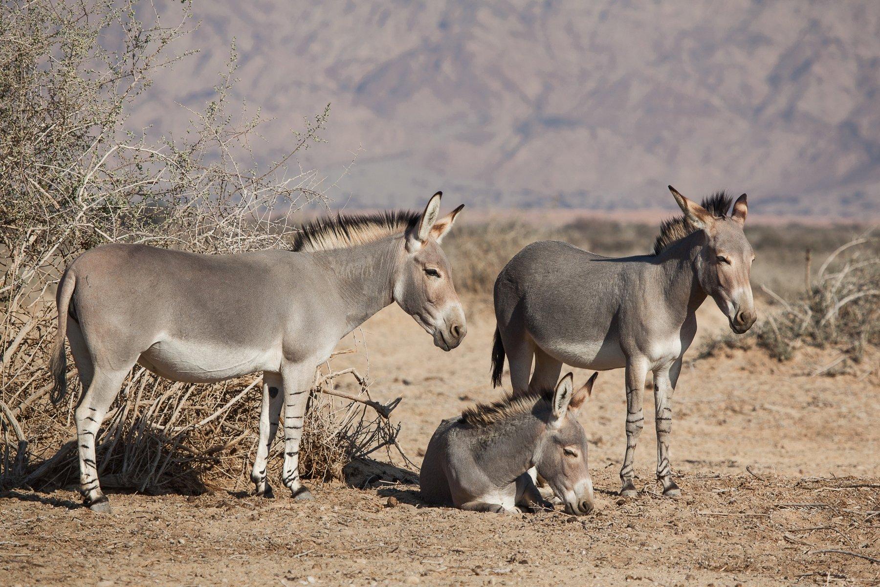 Животные, Зебры, Израиль, Природа, Пустыня, Наталья Рублина