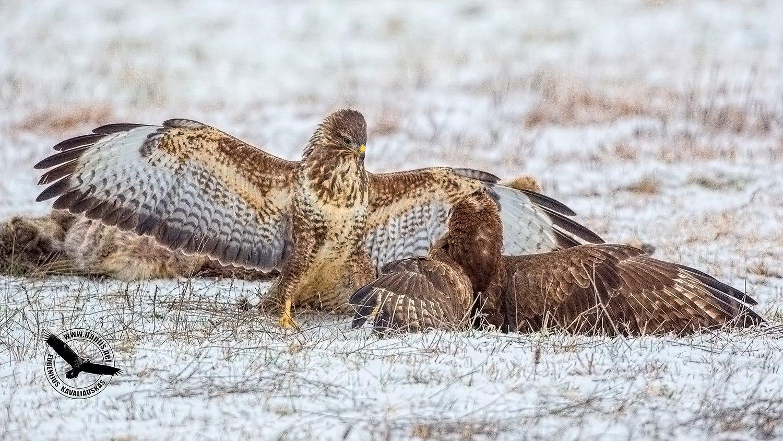 канюк, buteo buteo, common buzzard, Eugenijus Kavaliauskas