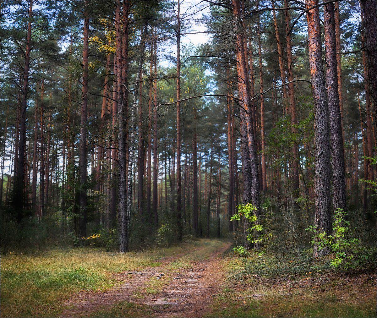 золотая осень, лес, тропинка, Сергей Шабуневич